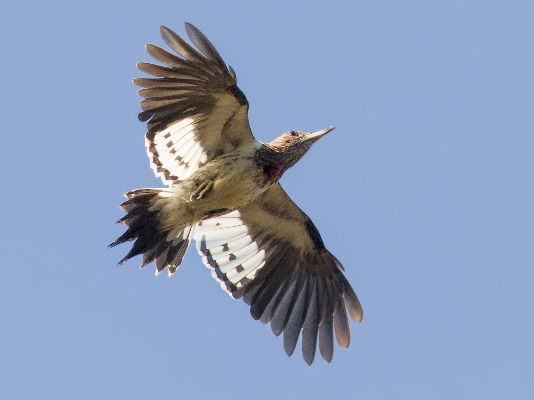 Red-headed Woodpecker - Samuel Paul Galick