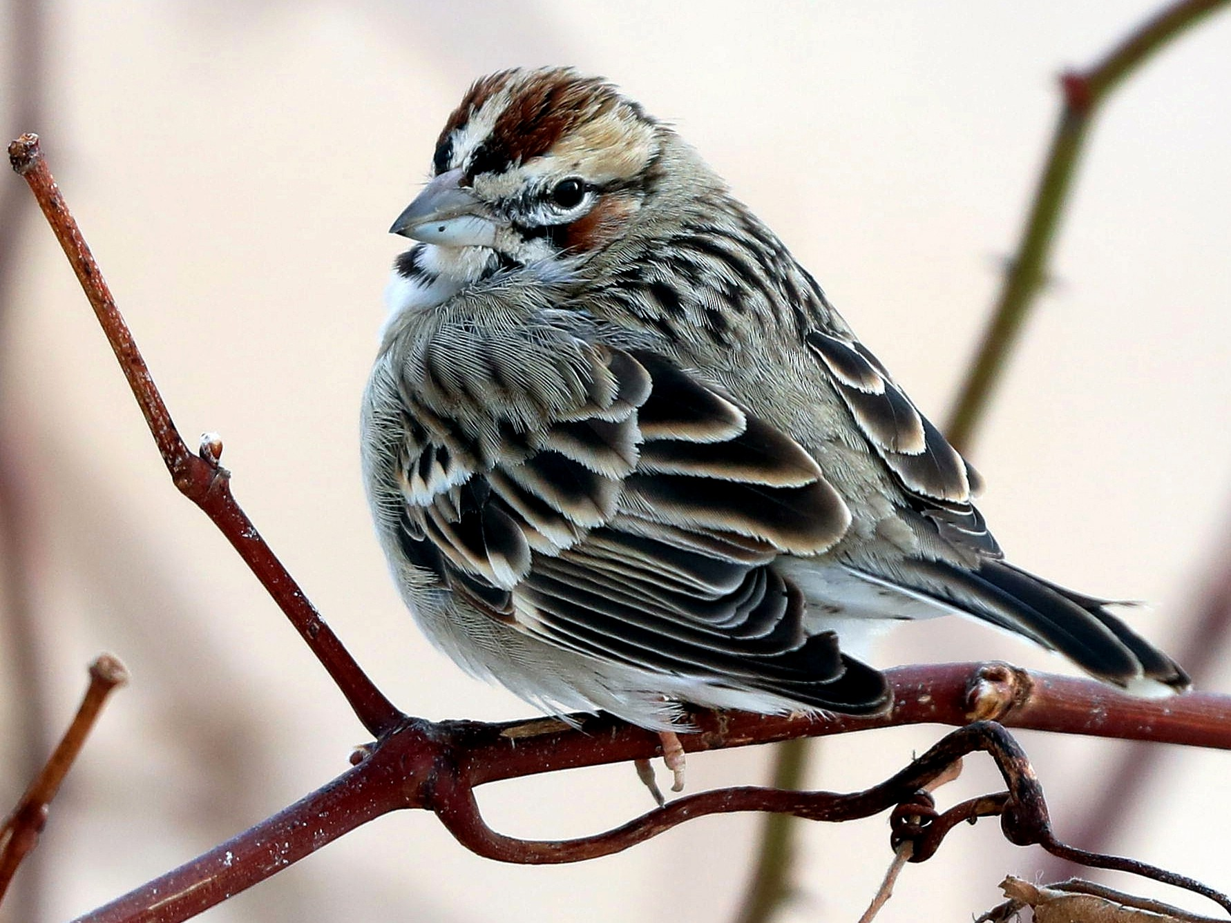 Lark Sparrow - Matthew Brown