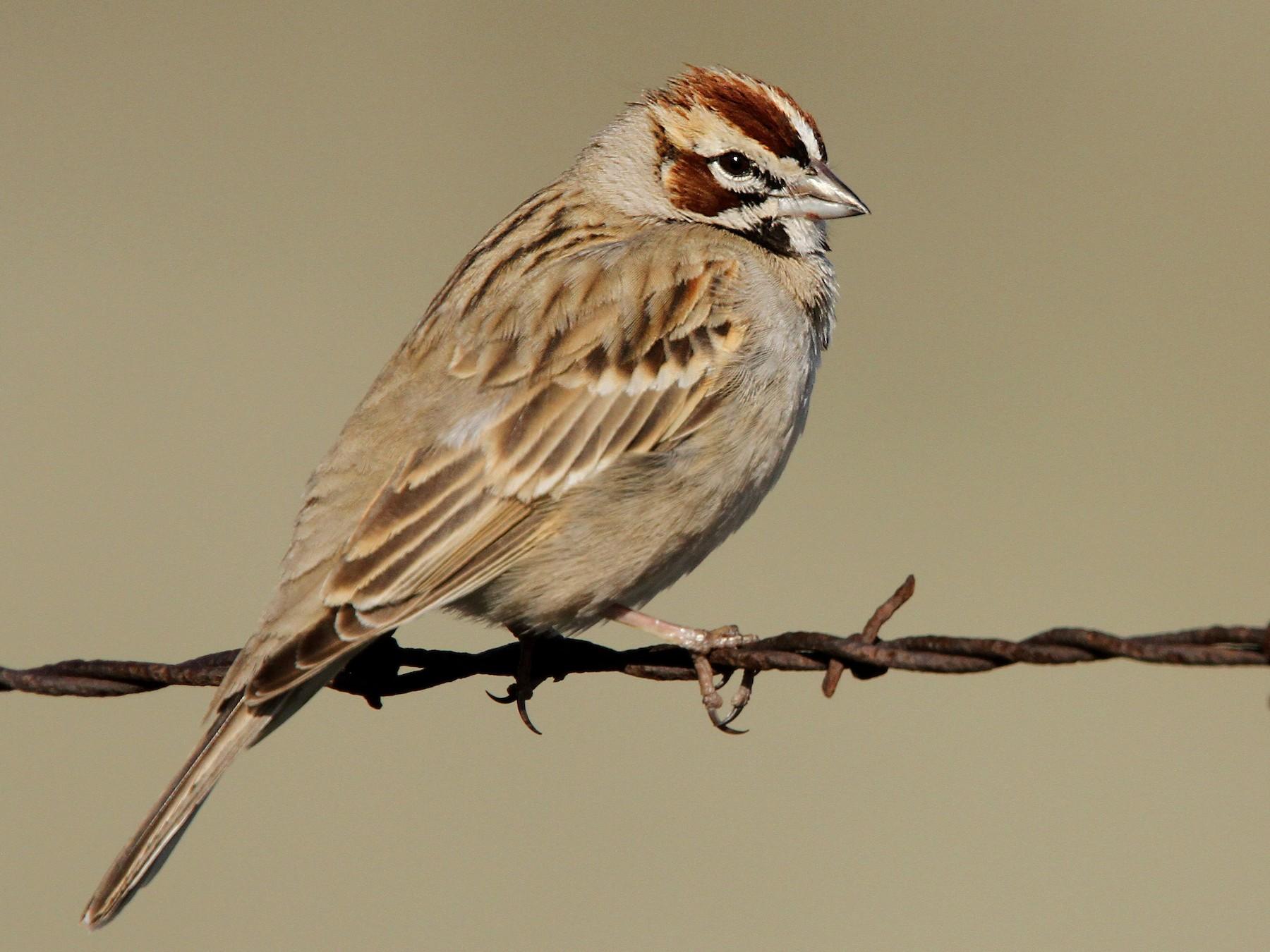 Lark Sparrow - Luke Seitz