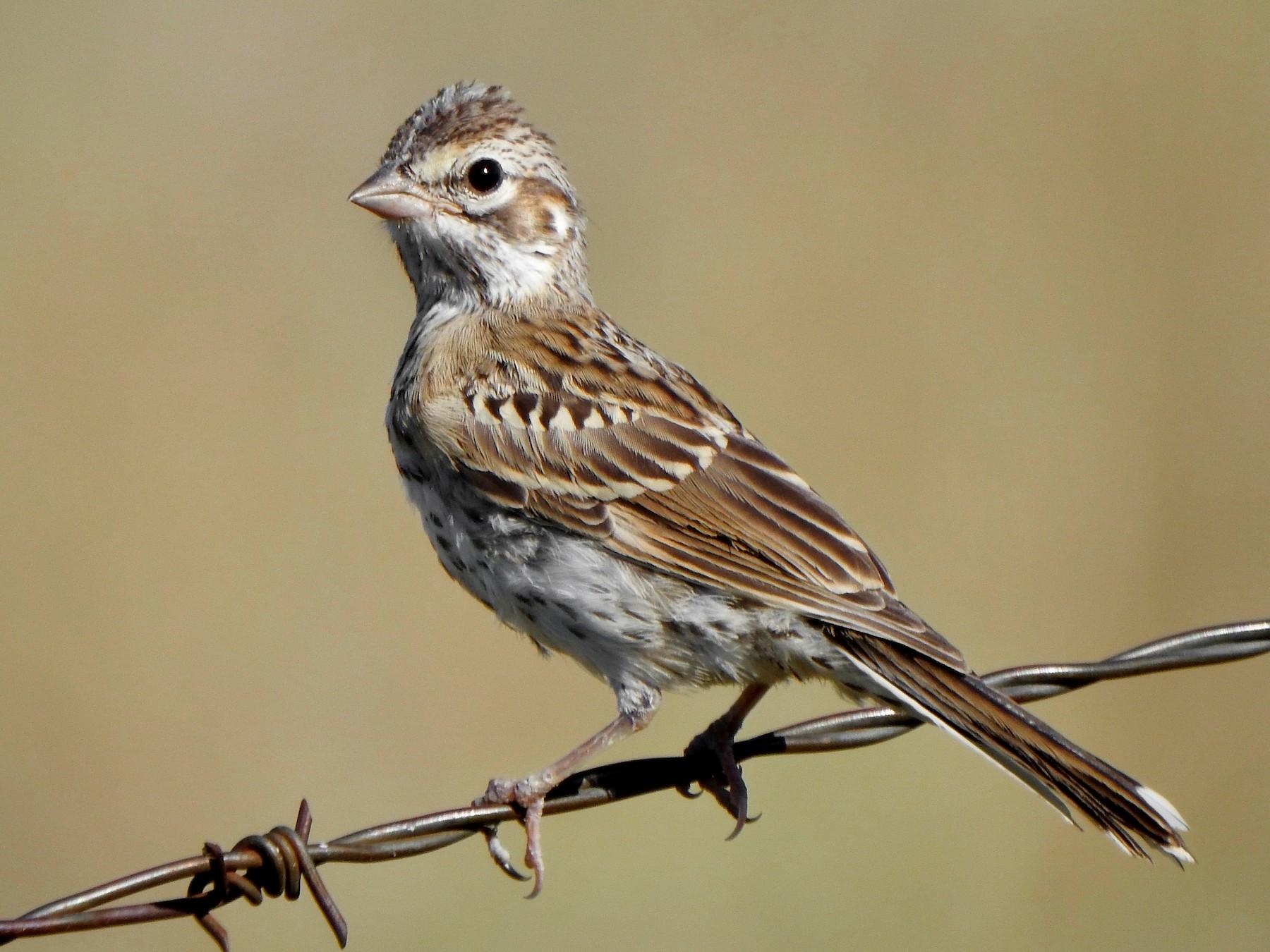 Lark Sparrow - Kalin Ocaña