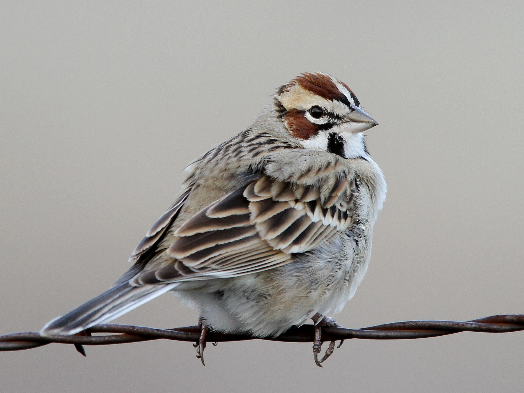 Lark Sparrow - Christoph Moning