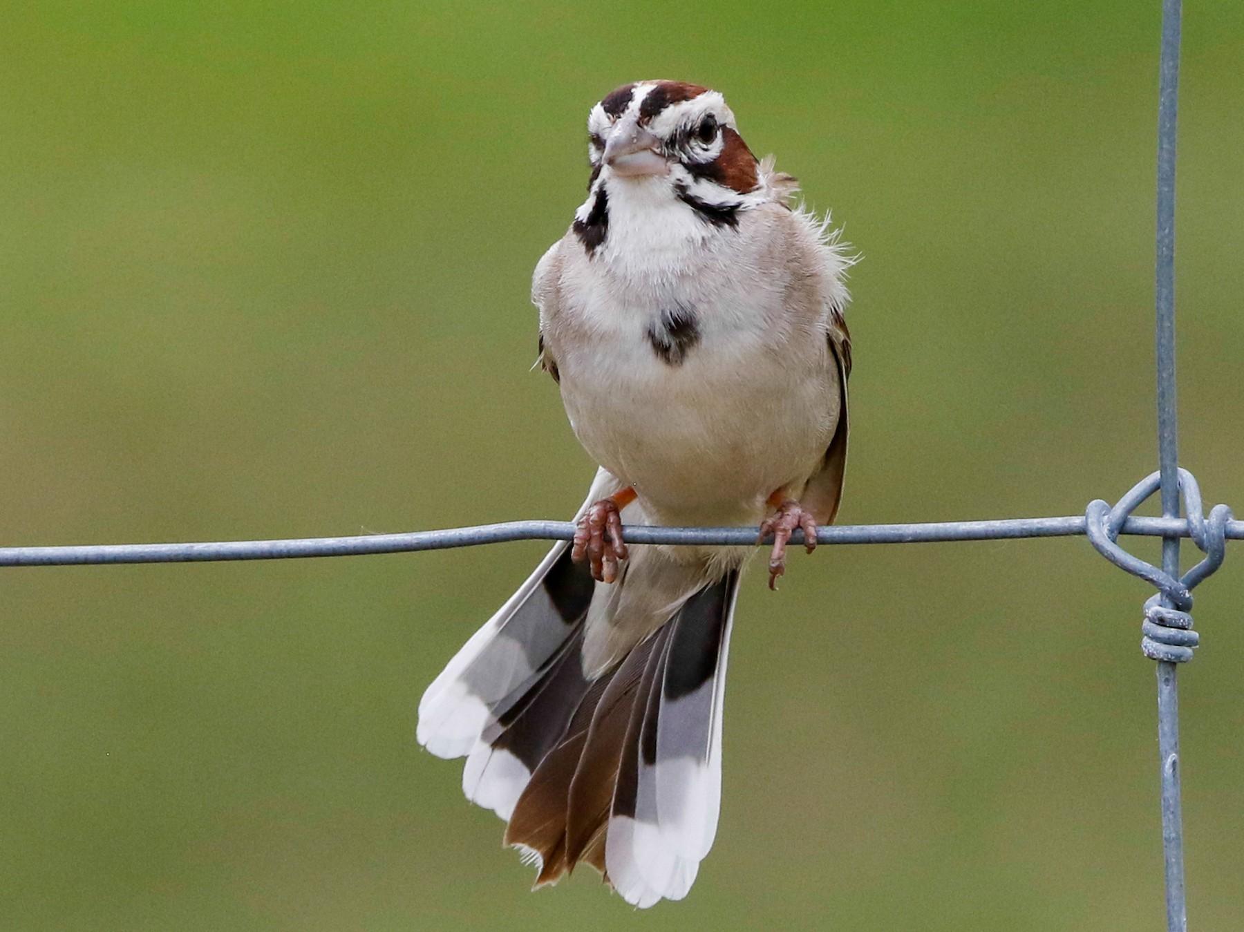 Lark Sparrow - Byron Stone
