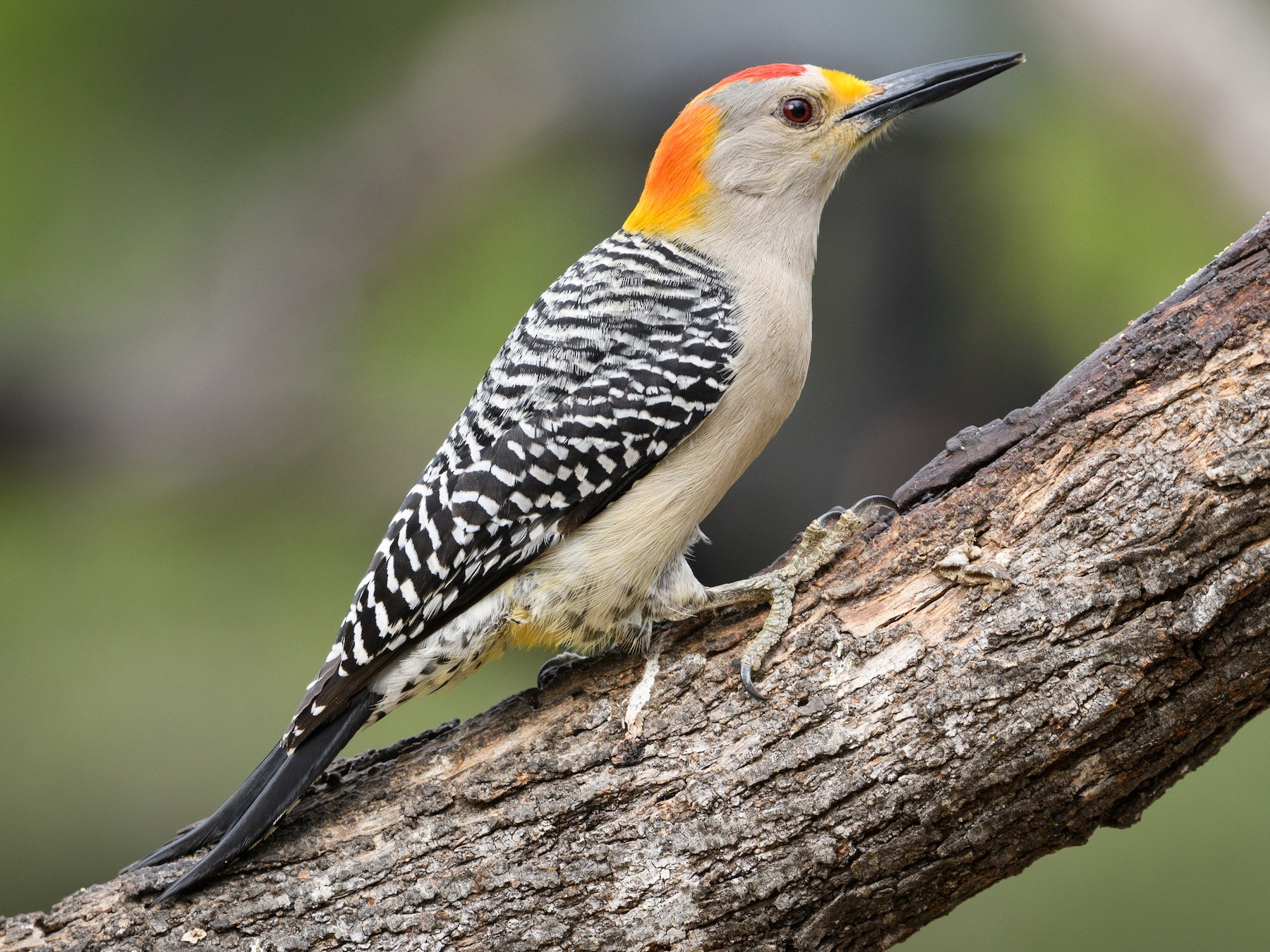 Golden-fronted Woodpecker - Darren Clark