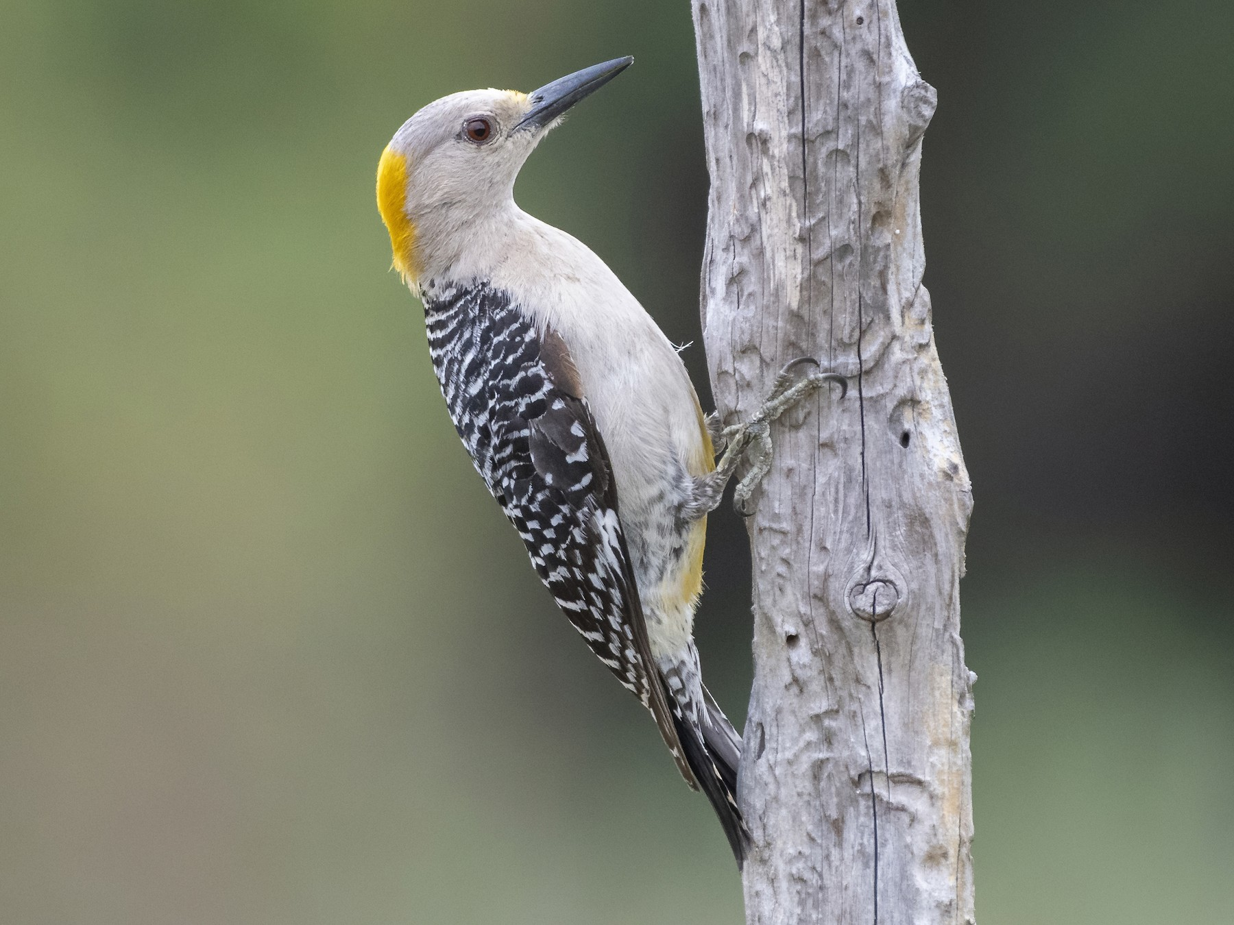 Golden-fronted Woodpecker - Bryan Calk