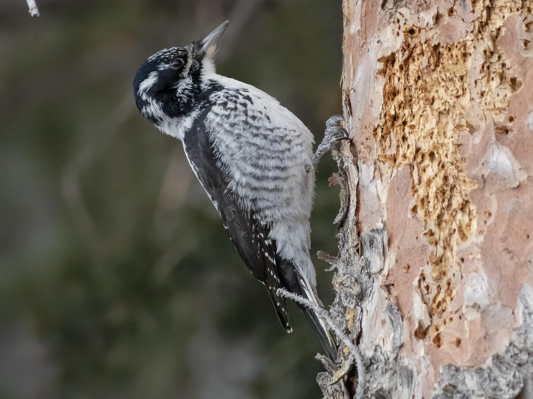 American Three-toed Woodpecker - Bryan Calk
