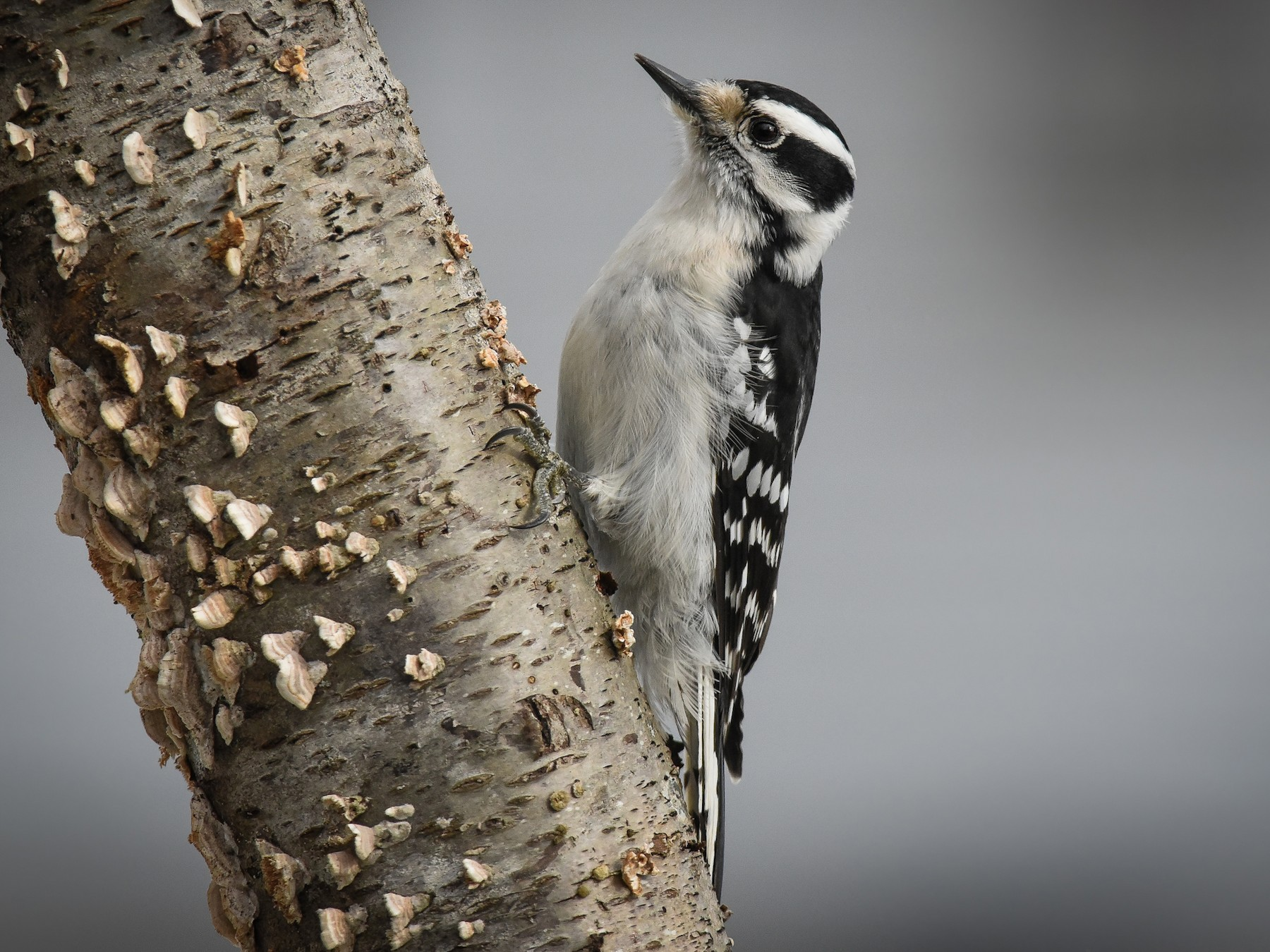 Downy Woodpecker - Scott Martin