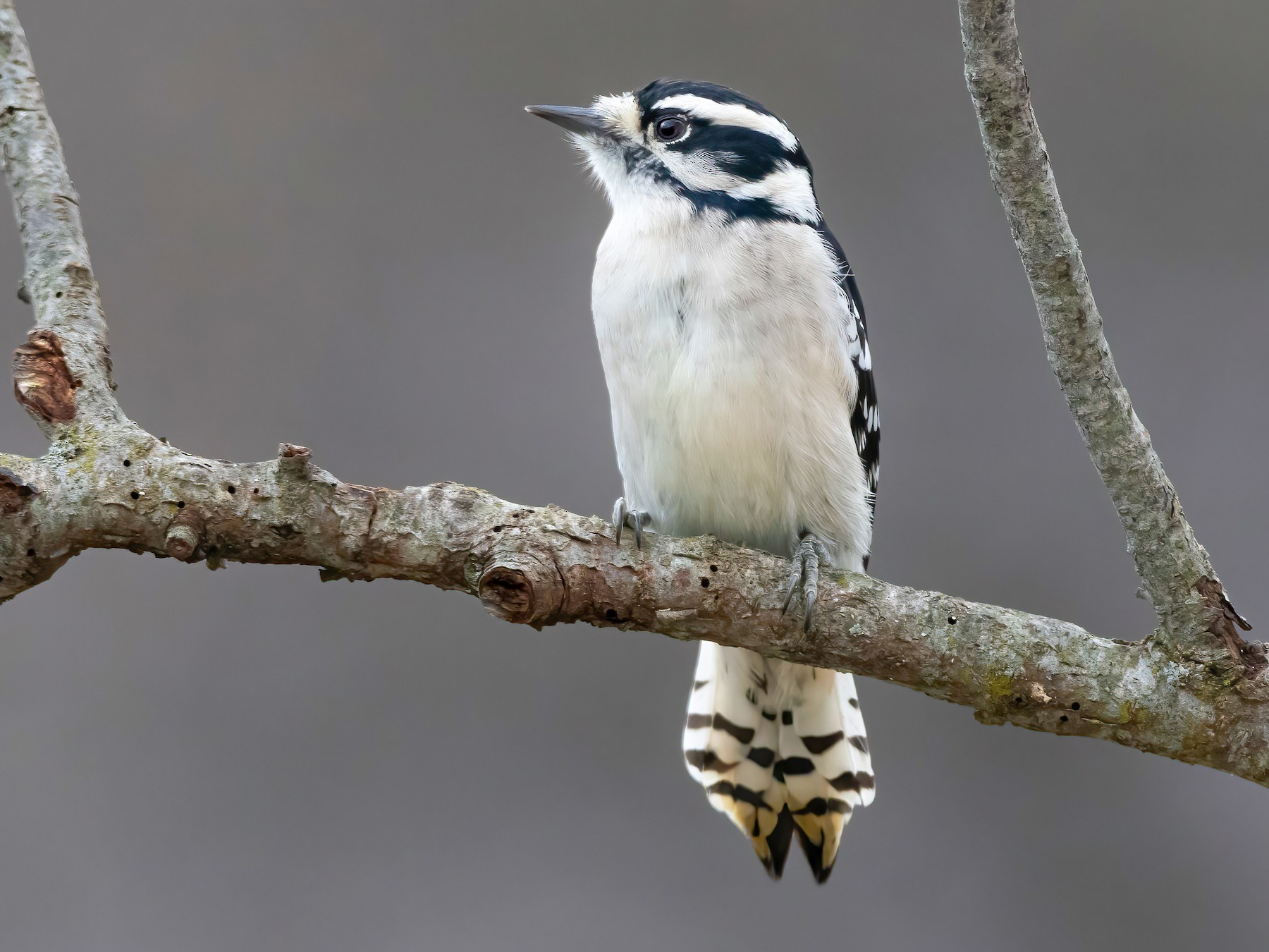 Downy Woodpecker - Matthew Plante