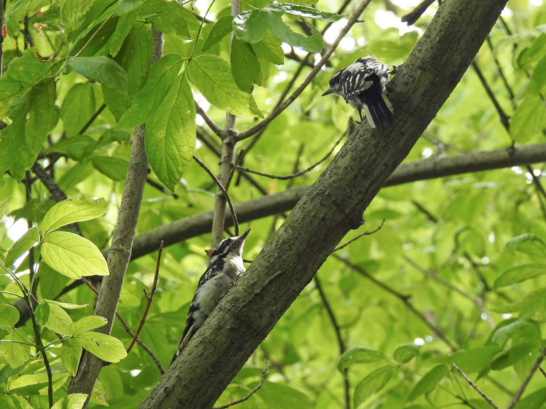 Downy Woodpecker - Mike Thelen