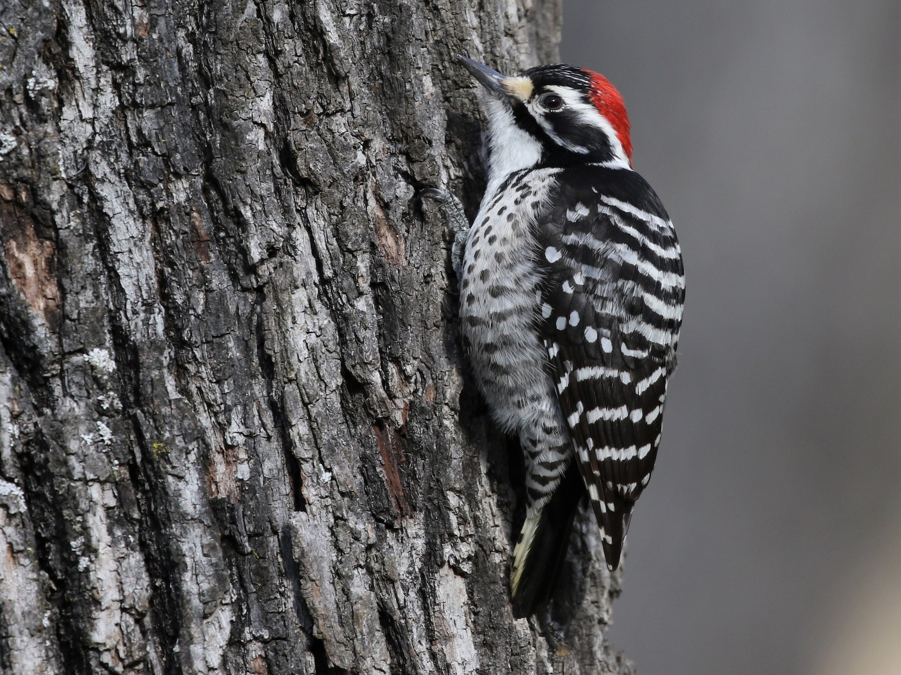 Nuttall's Woodpecker - Dean LaTray