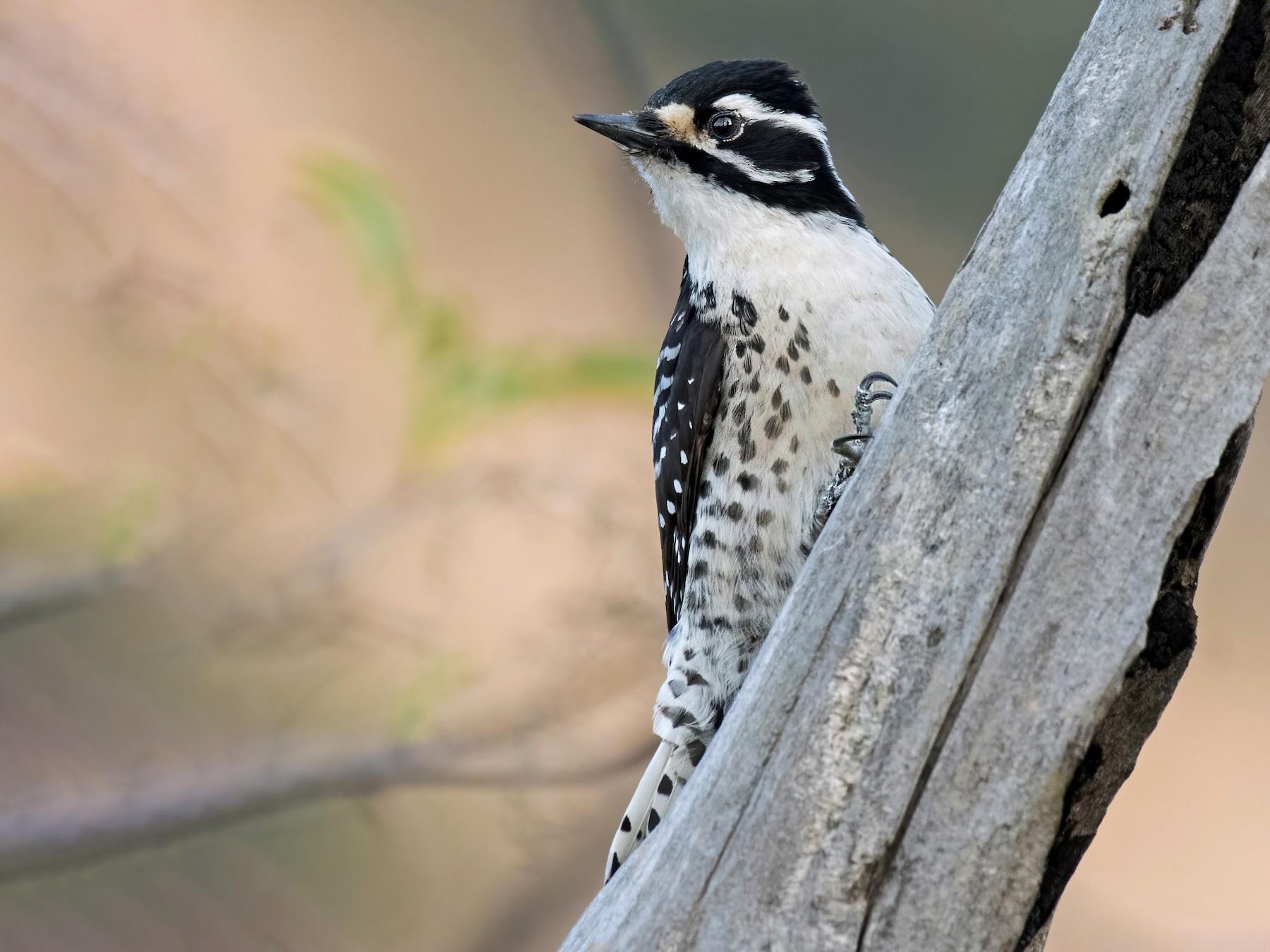 Nuttall's Woodpecker - Alison Davies