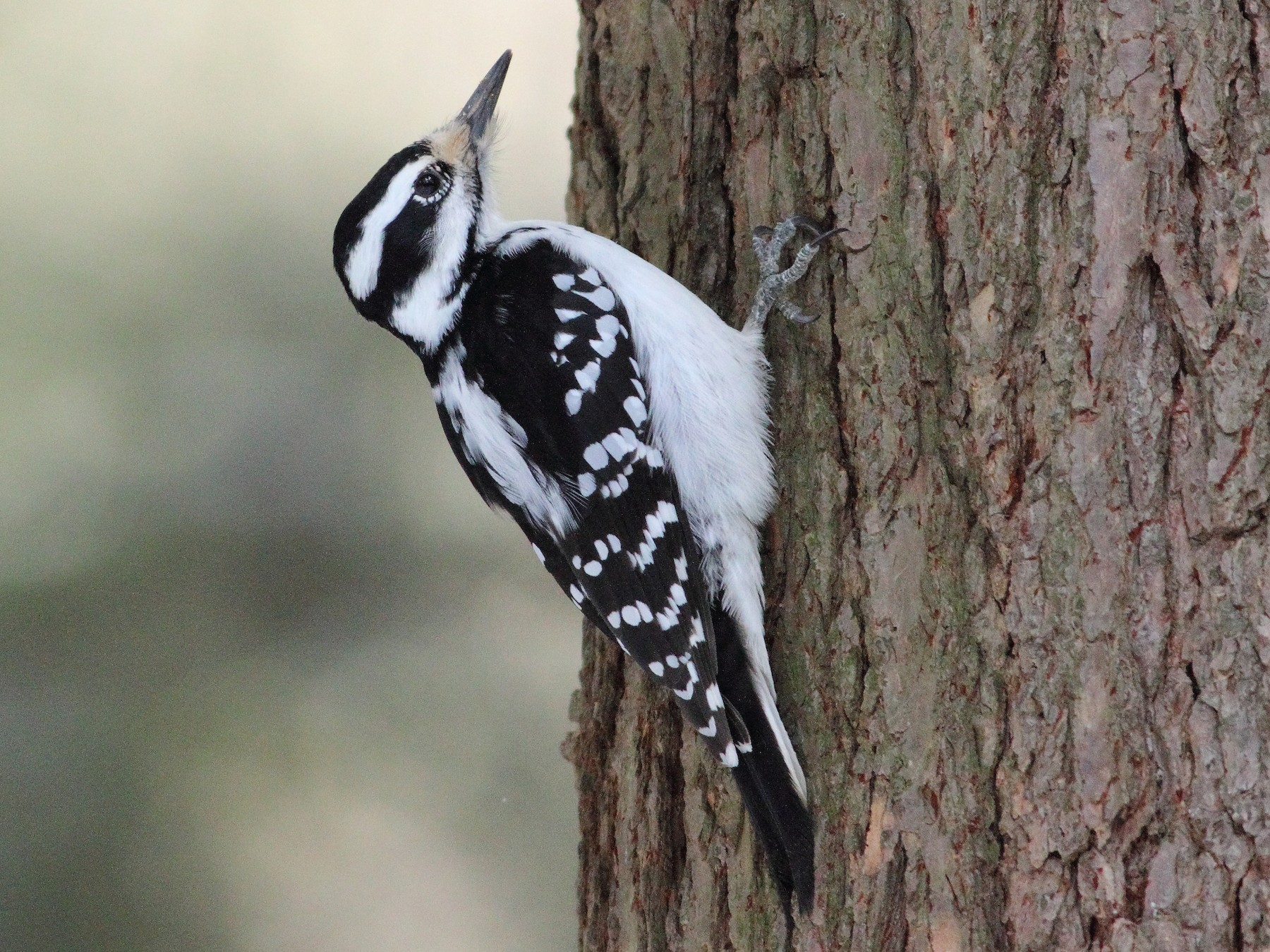 Hairy Woodpecker - Dominique Genna
