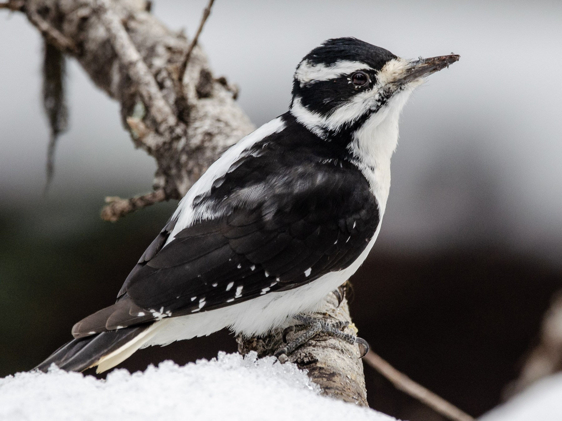Hairy Woodpecker - Mason Maron