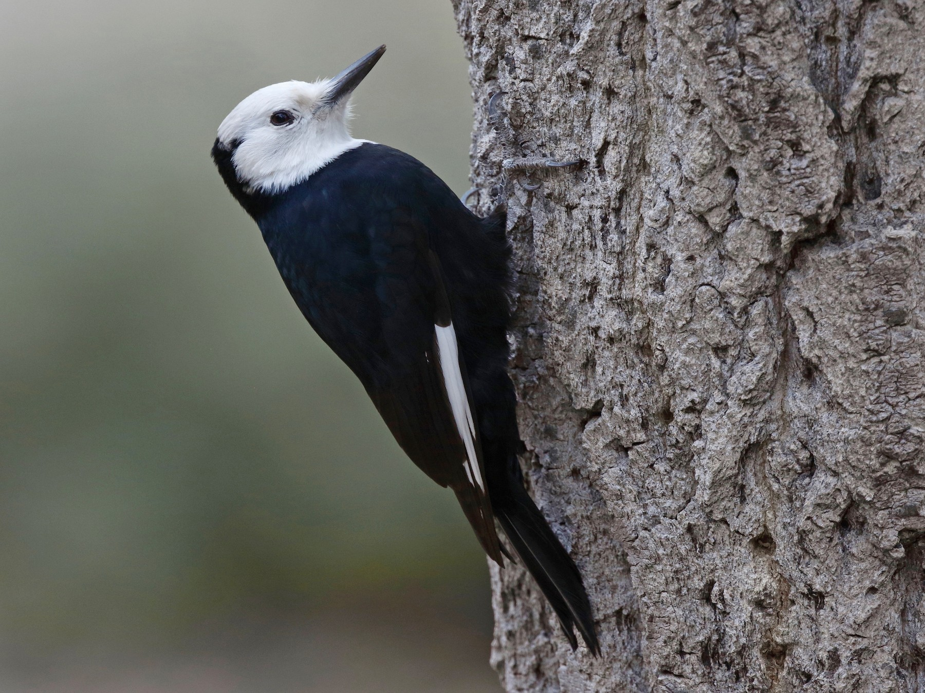 White-headed Woodpecker - Timo Mitzen