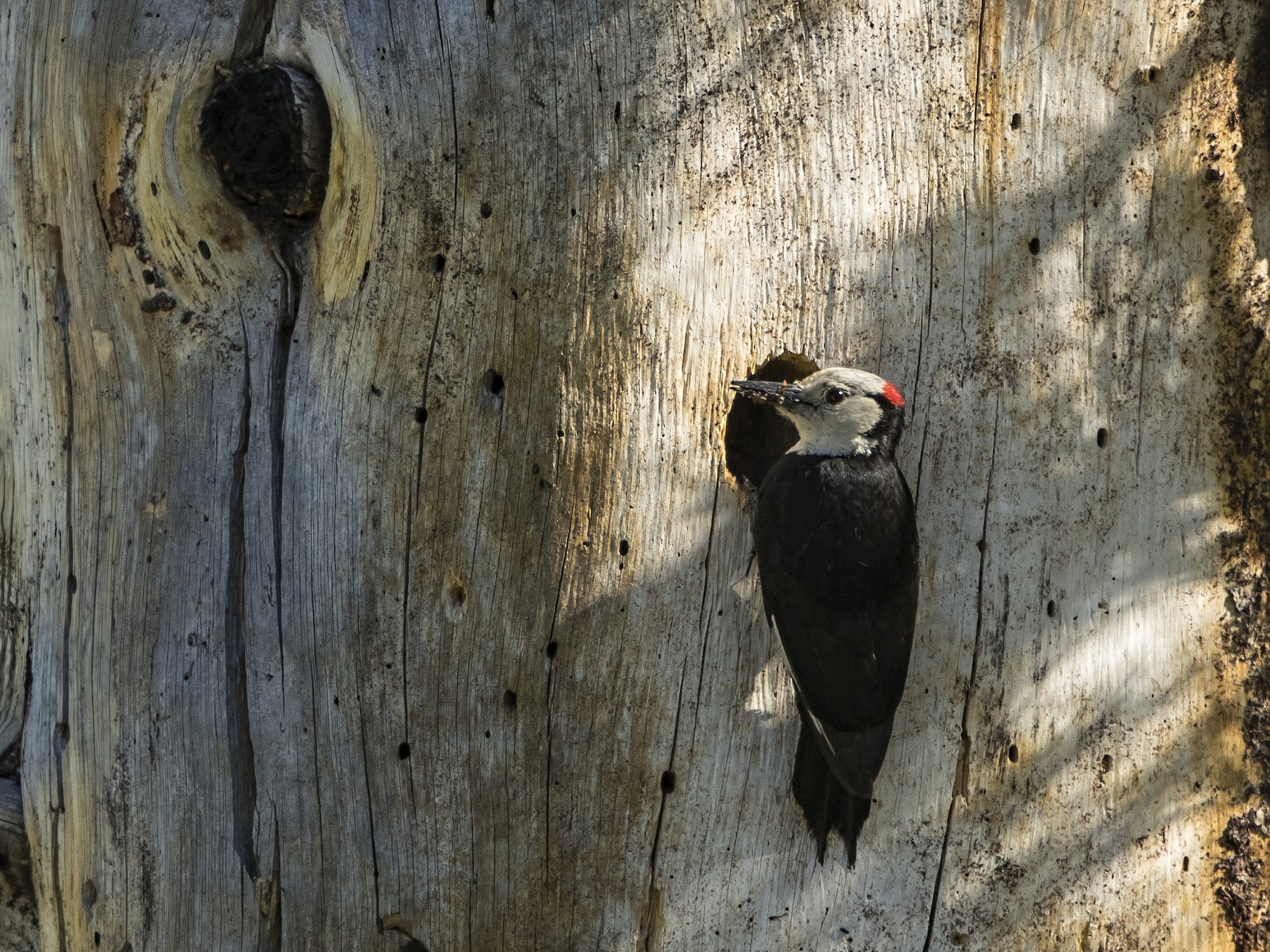 White-headed Woodpecker - Peter Hawrylyshyn