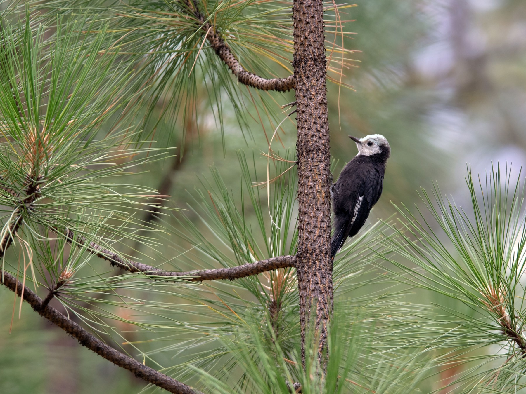 White-headed Woodpecker - Frank Lehman