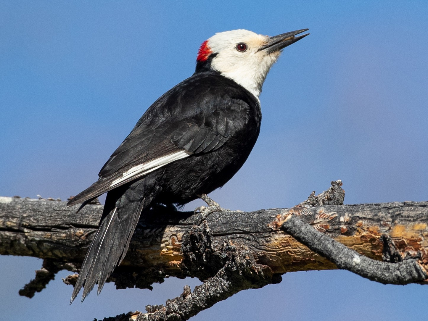 White-headed Woodpecker - Ian Davies