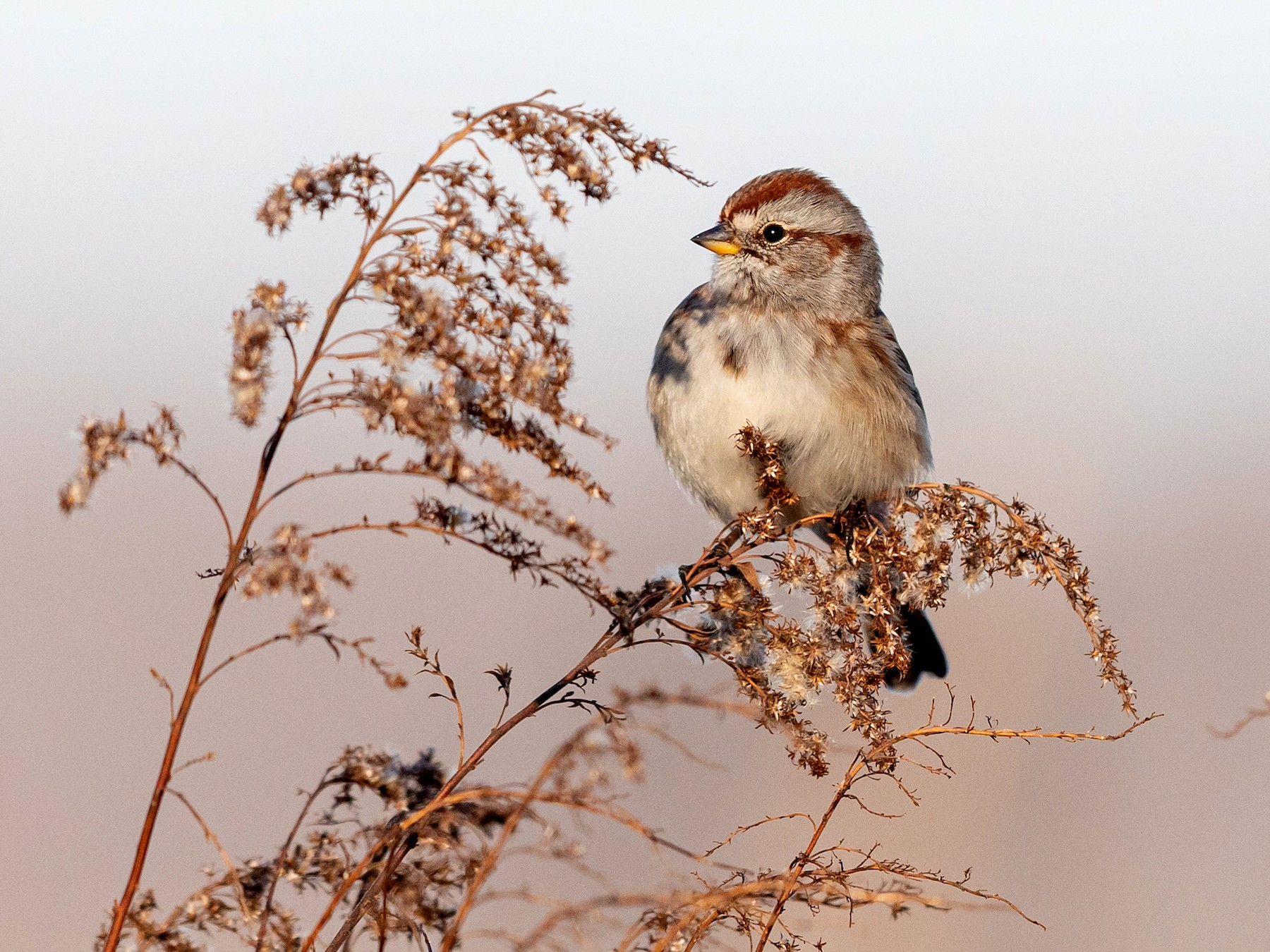 American Tree Sparrow - Brad Imhoff