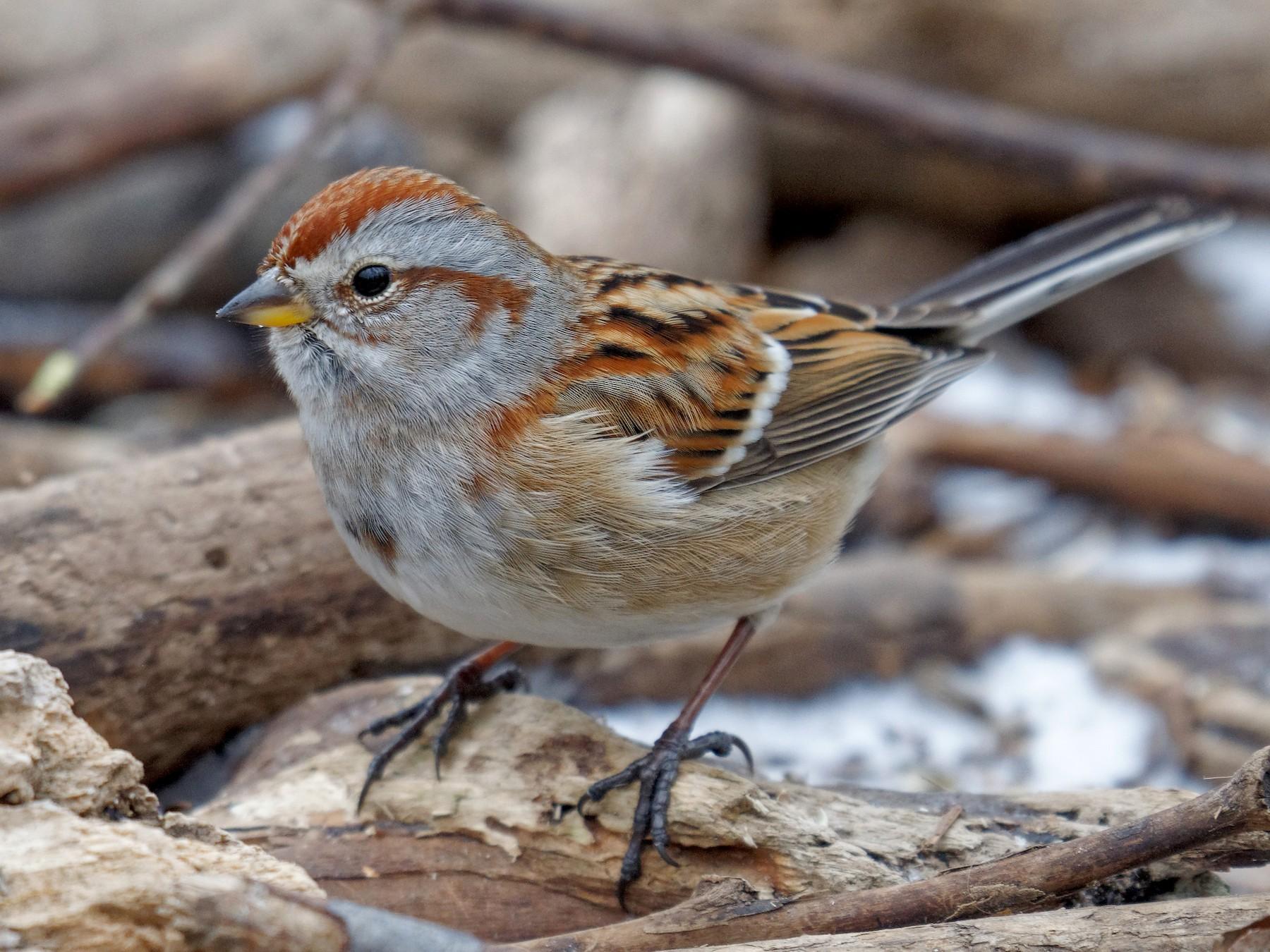 American Tree Sparrow - Etienne Artigau