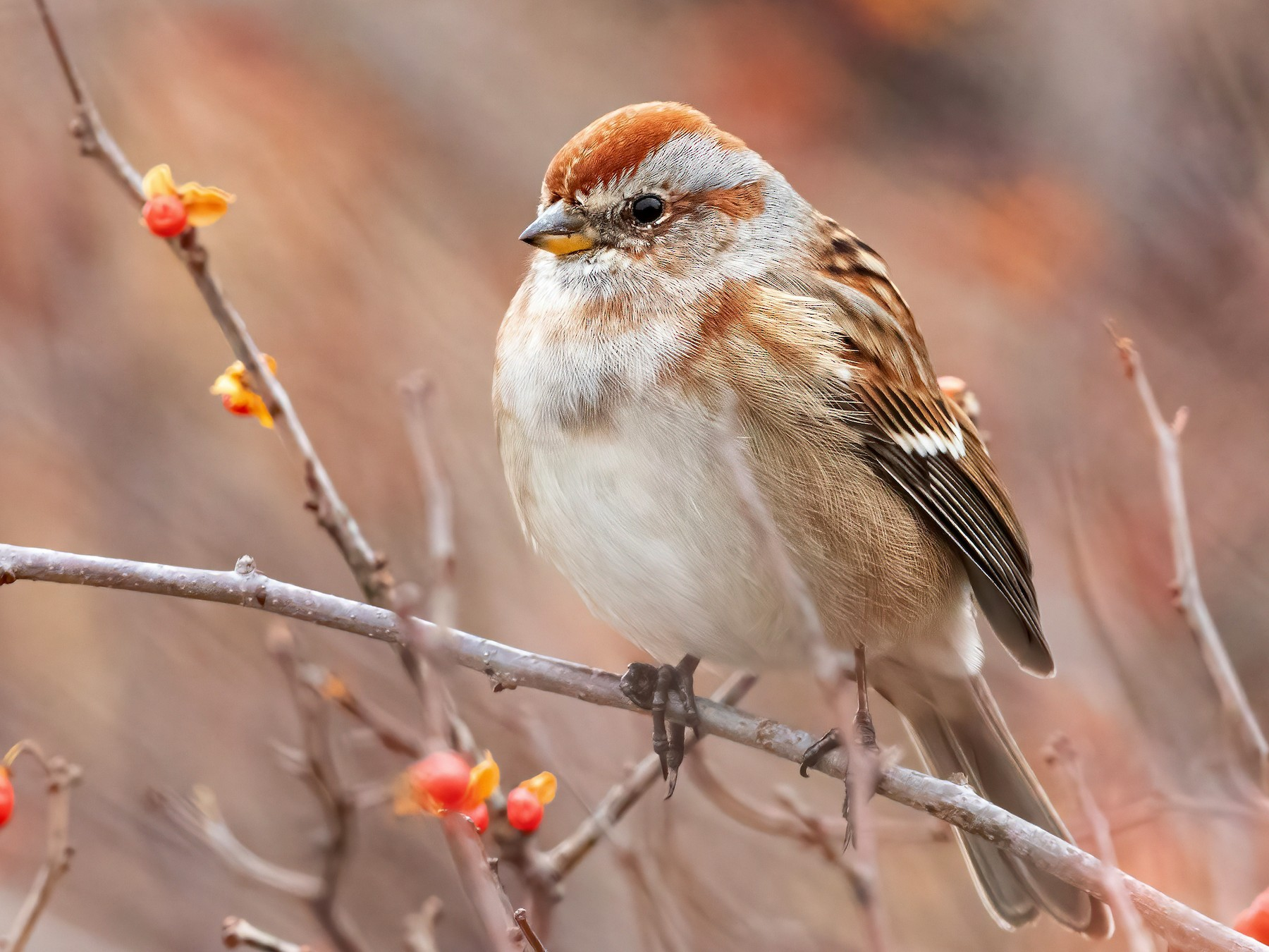 American Tree Sparrow - Sam Zhang