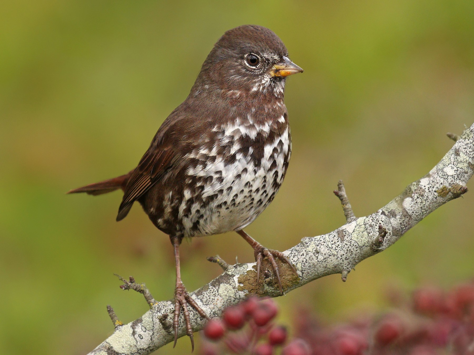 Fox Sparrow - Ryan Schain