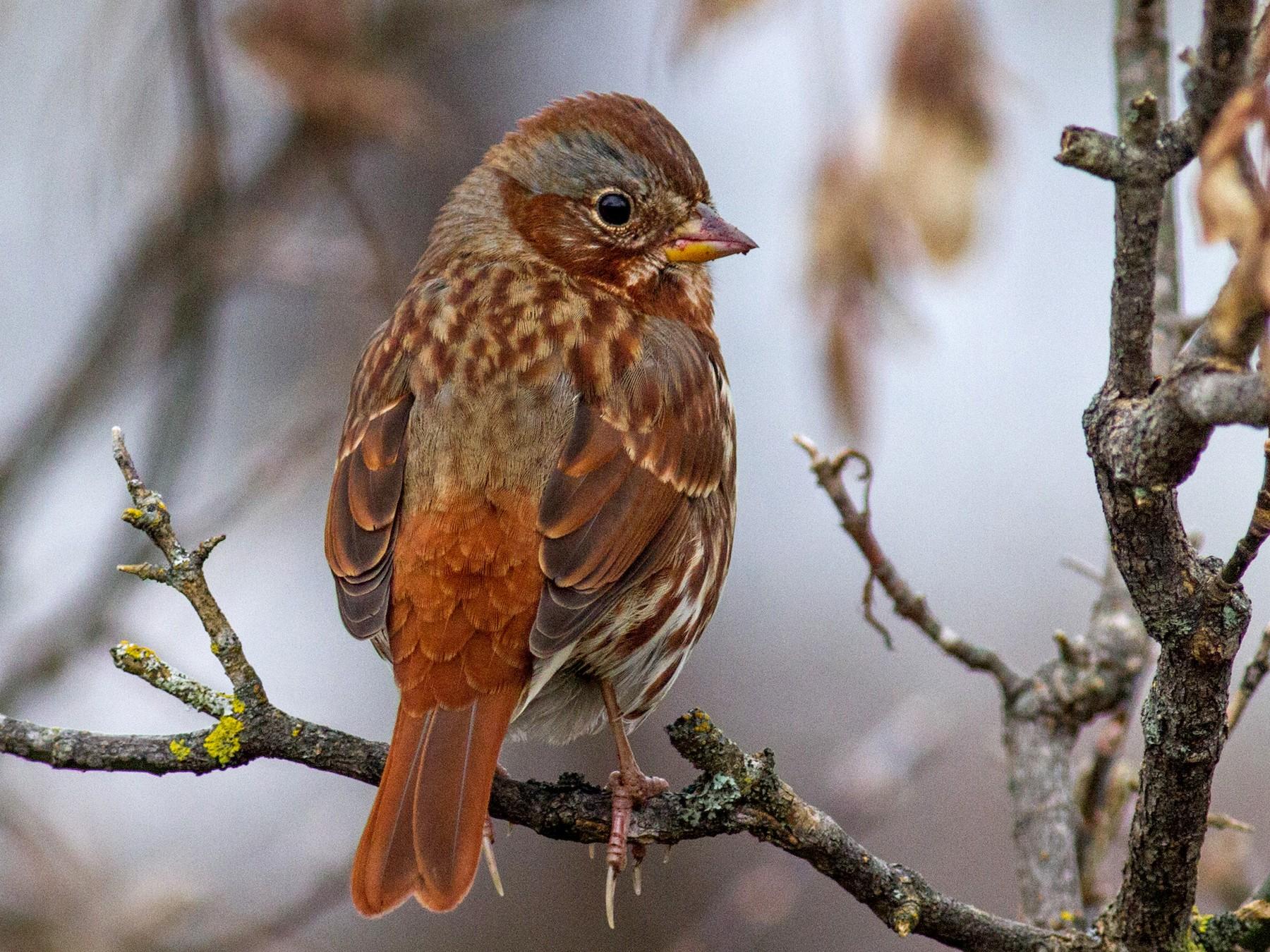 Fox Sparrow - Fyn Kynd