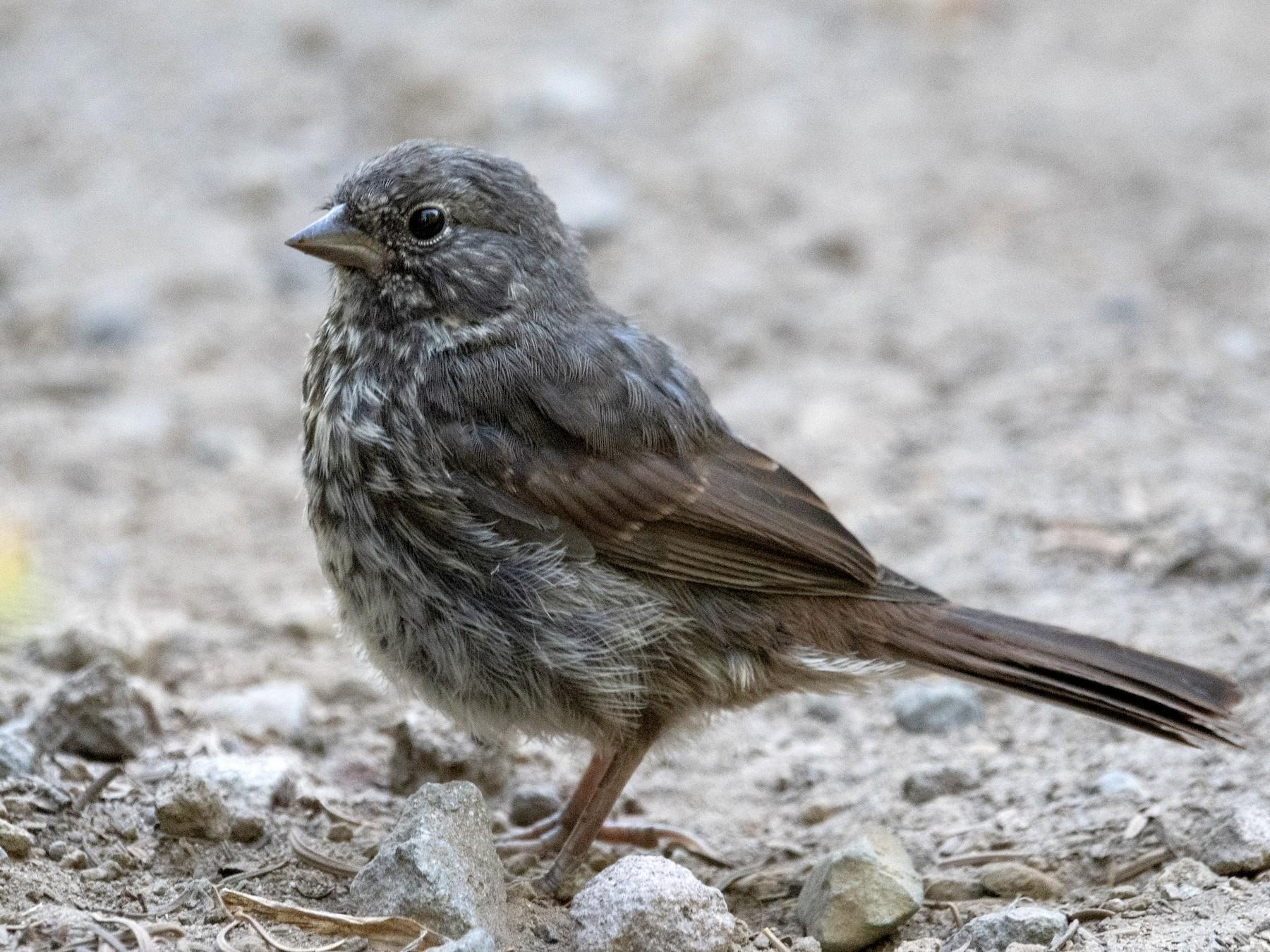 Fox Sparrow - Mason Maron