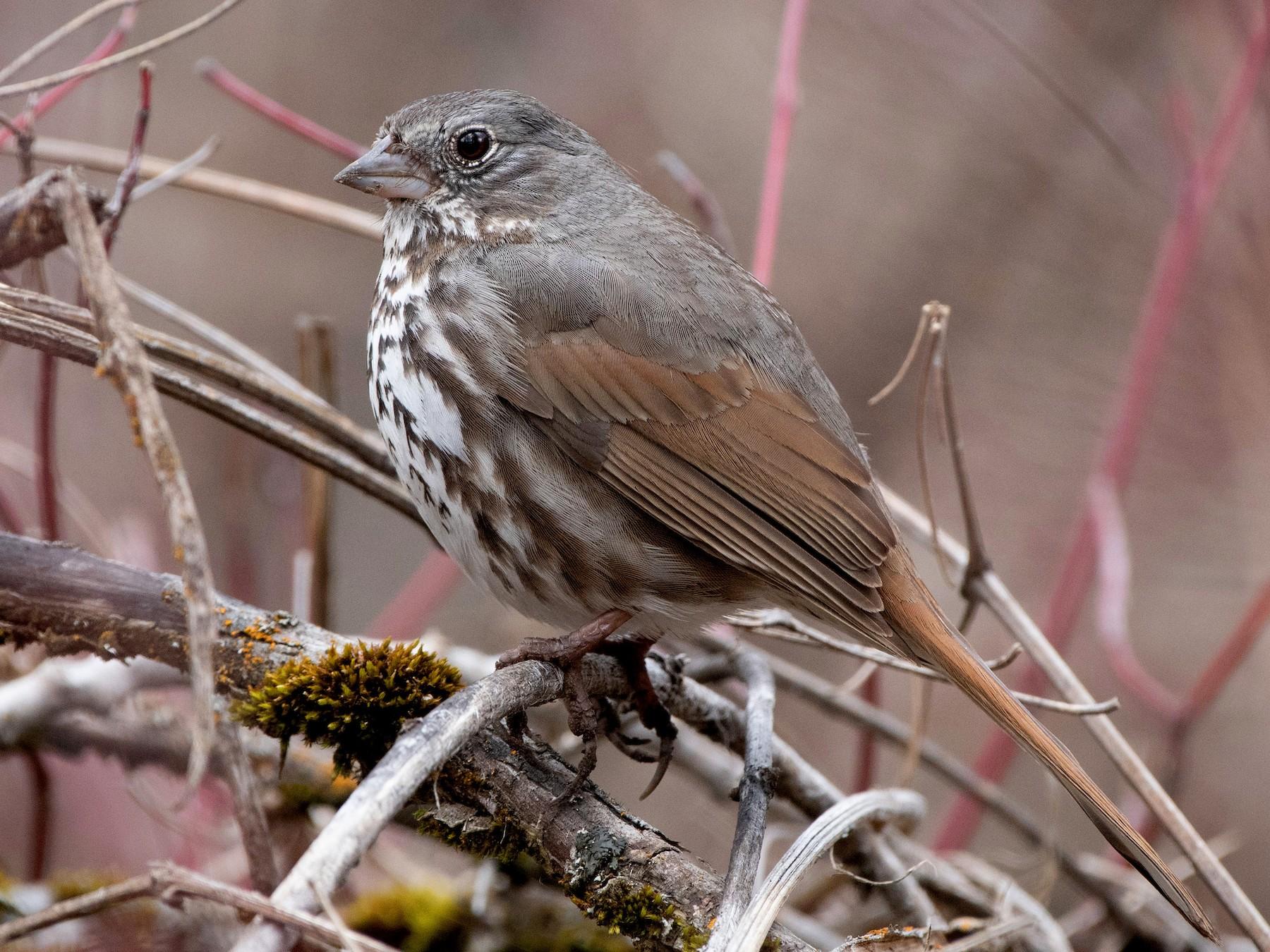 Fox Sparrow - Darren Clark