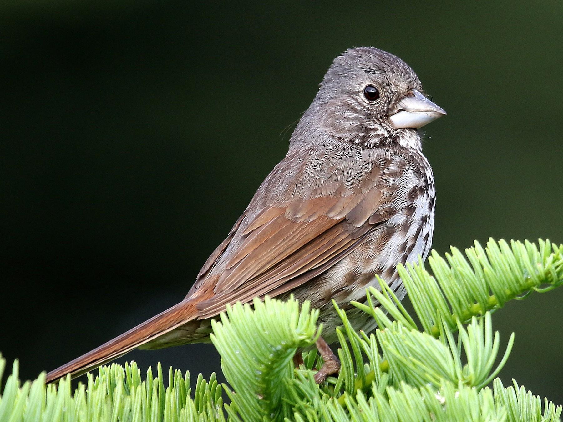 Fox Sparrow - Steve Rottenborn