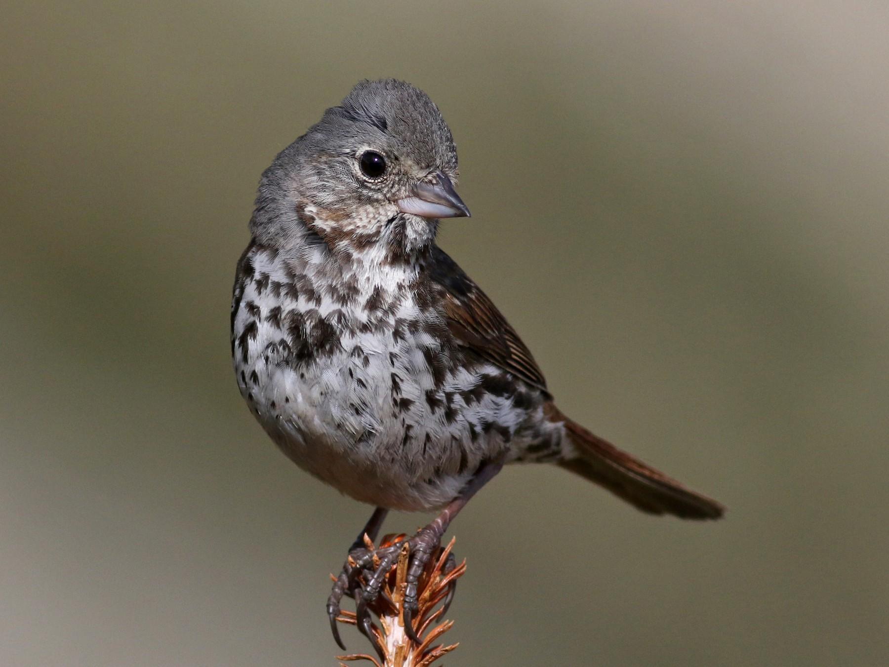 Fox Sparrow - Jay McGowan