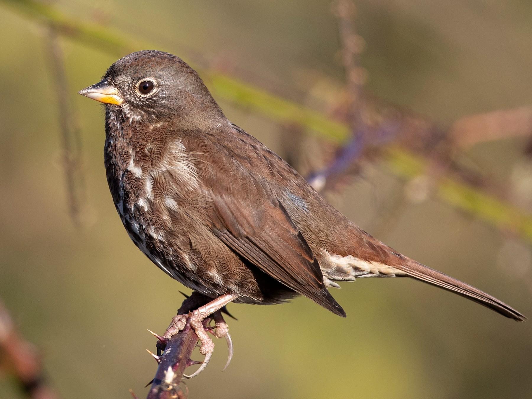 Fox Sparrow - Ian Davies