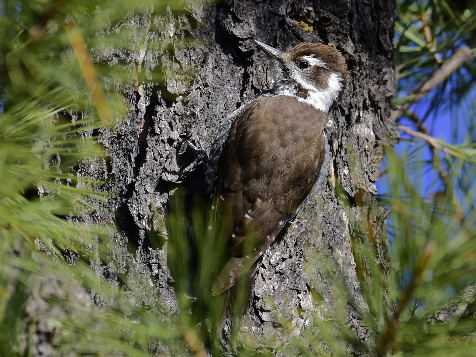 Arizona Woodpecker - David Tønnessen