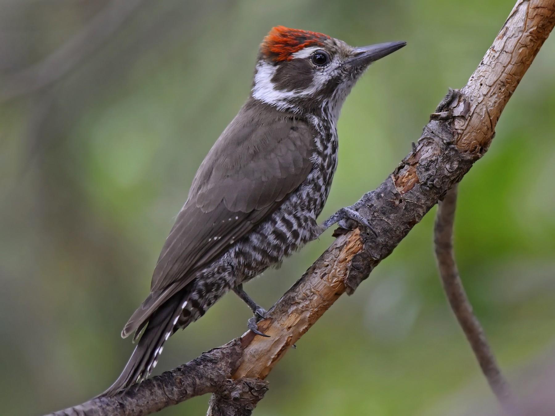 Arizona Woodpecker - Daniel Irons
