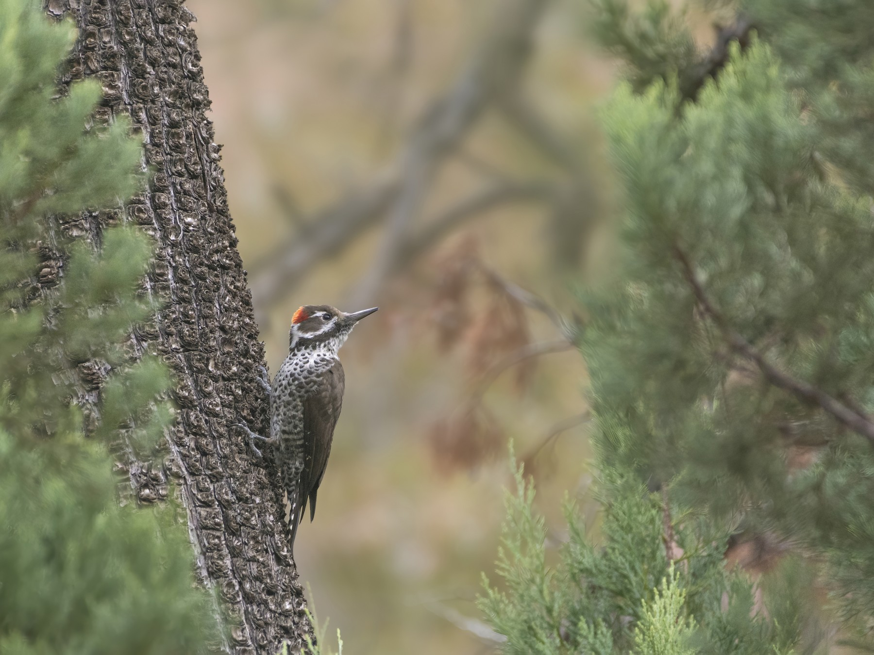 Arizona Woodpecker - Bryan Calk