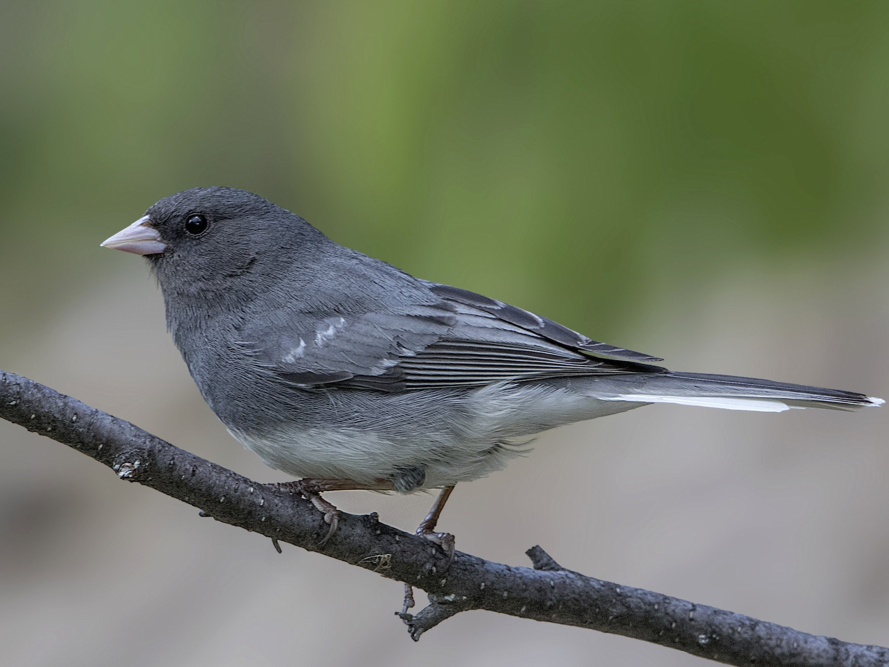 Dark-eyed Junco - Bradley Hacker