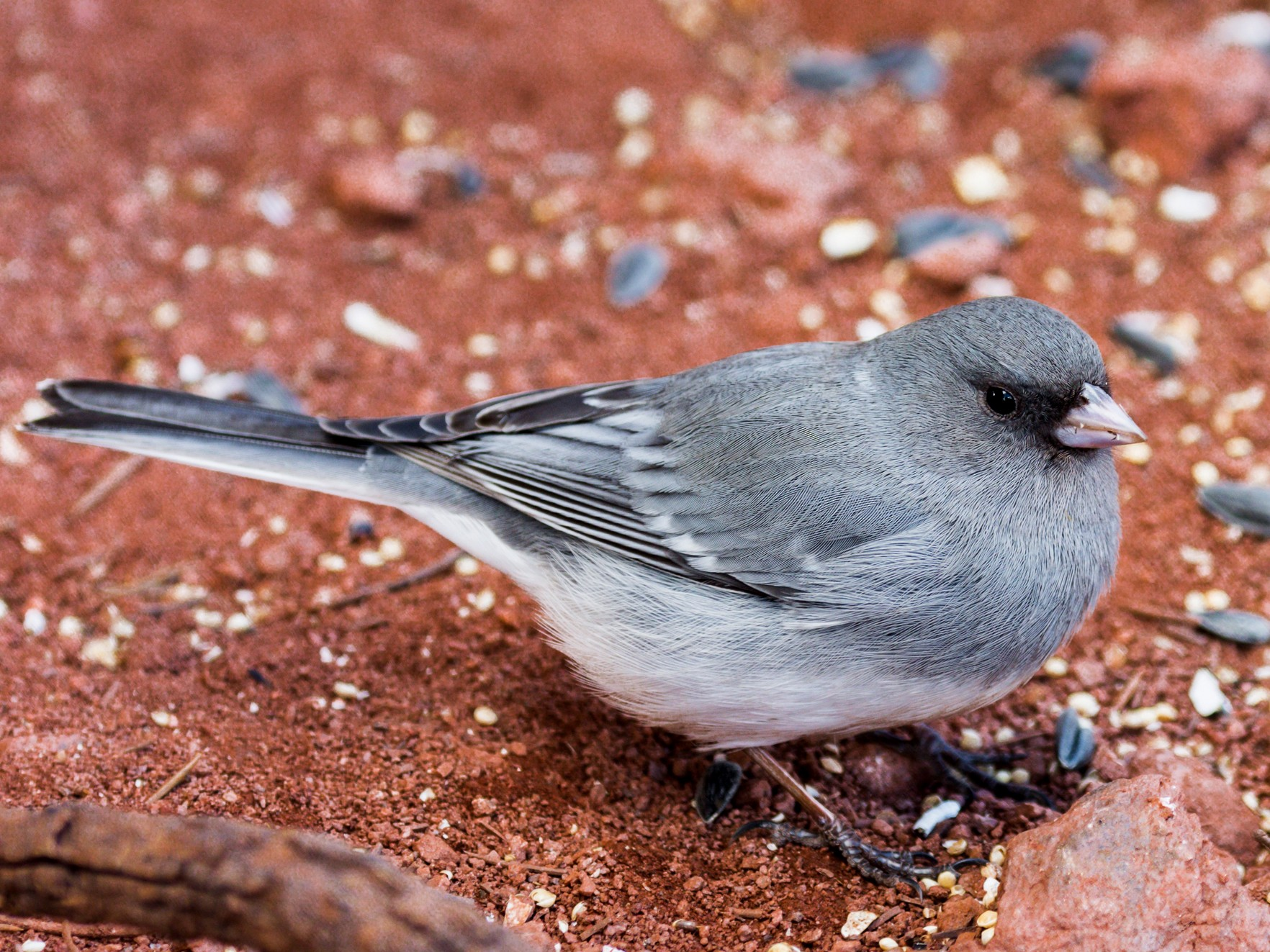 Dark-eyed Junco - Jim Merritt
