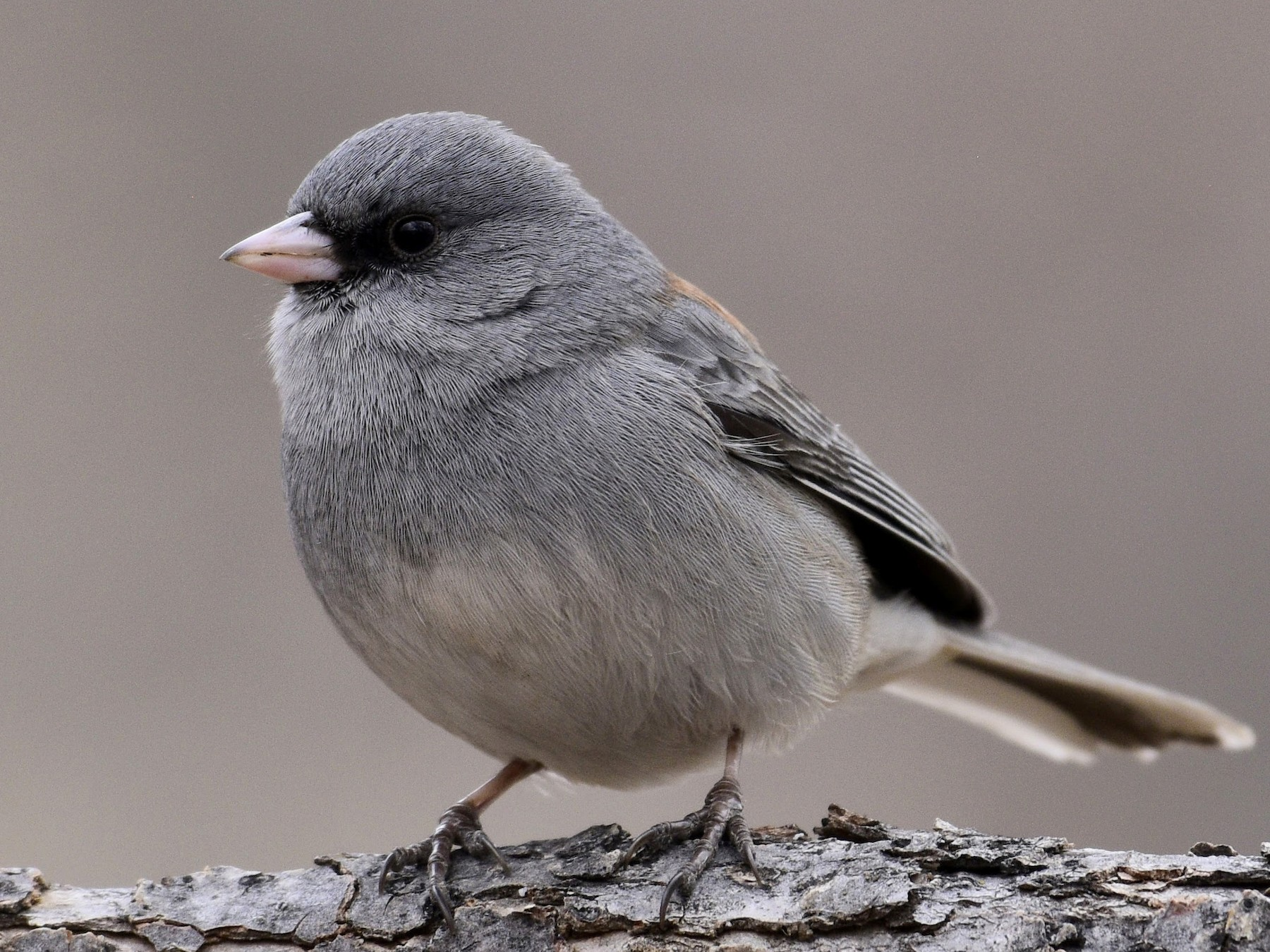 Dark-eyed Junco - David Tønnessen