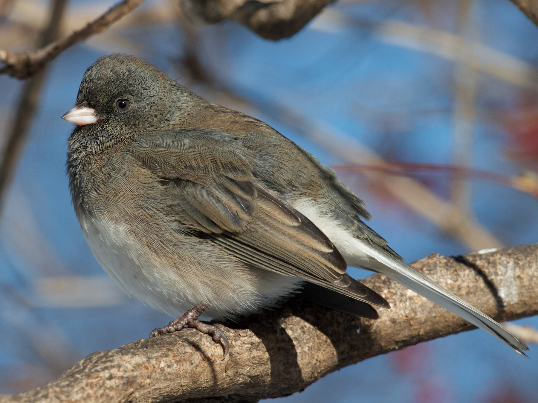 Dark-eyed Junco - Jack & Holly Bartholmai