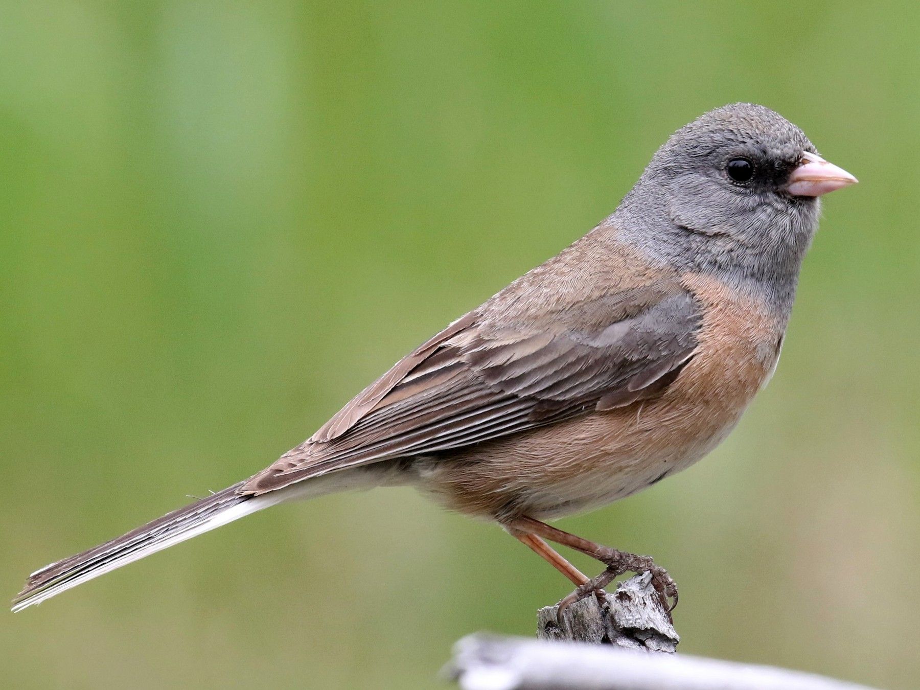 Dark-eyed Junco - Max Malmquist