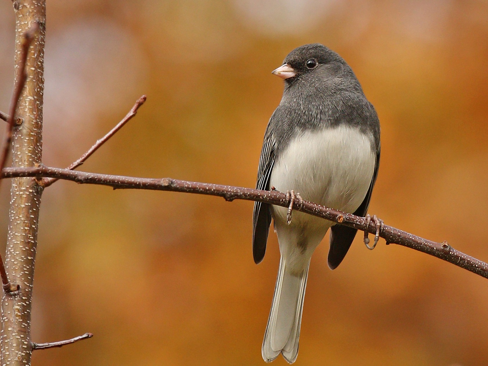 Dark-eyed Junco - Ryan Schain