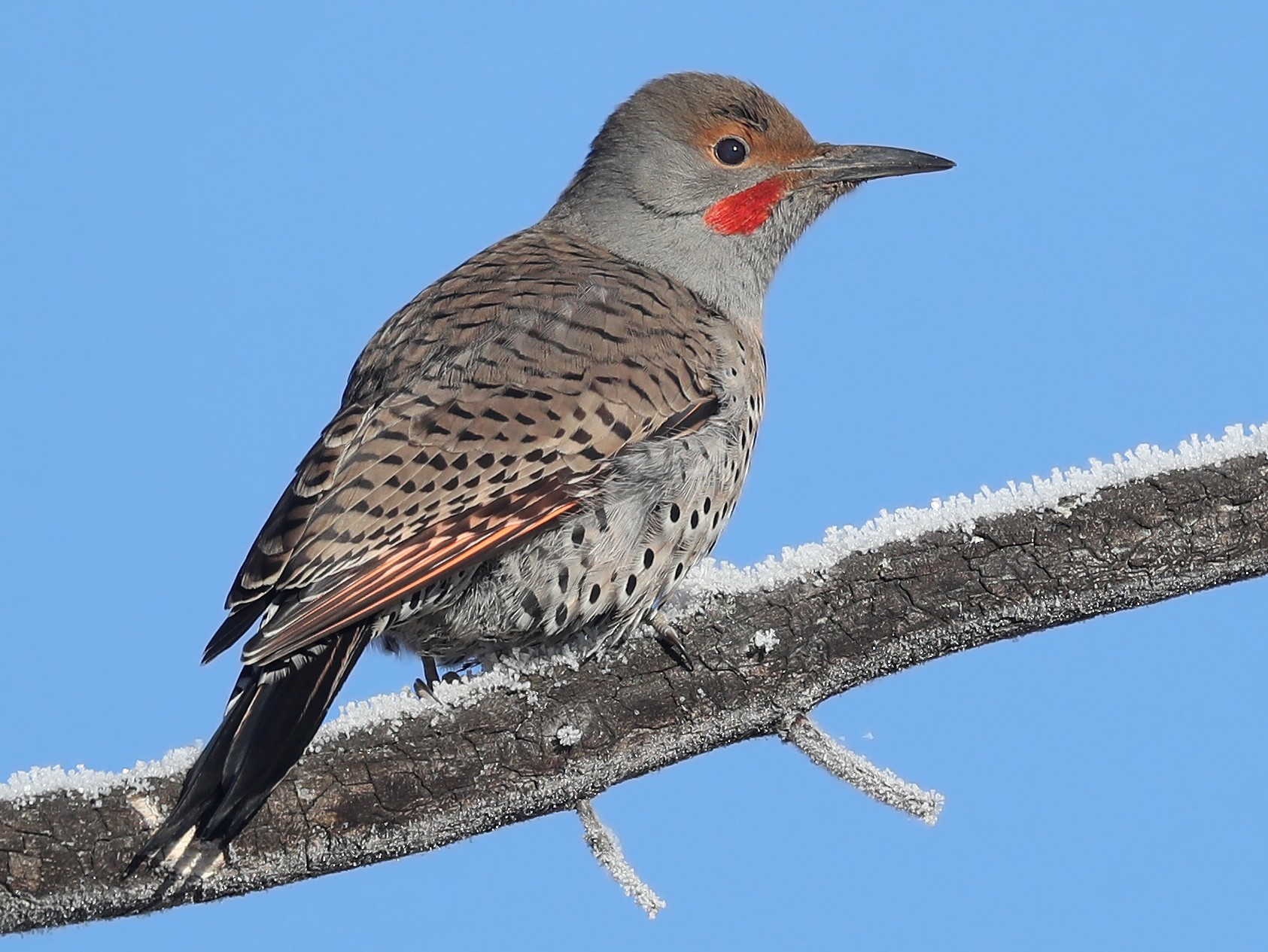 Northern Flicker - Matt Davis