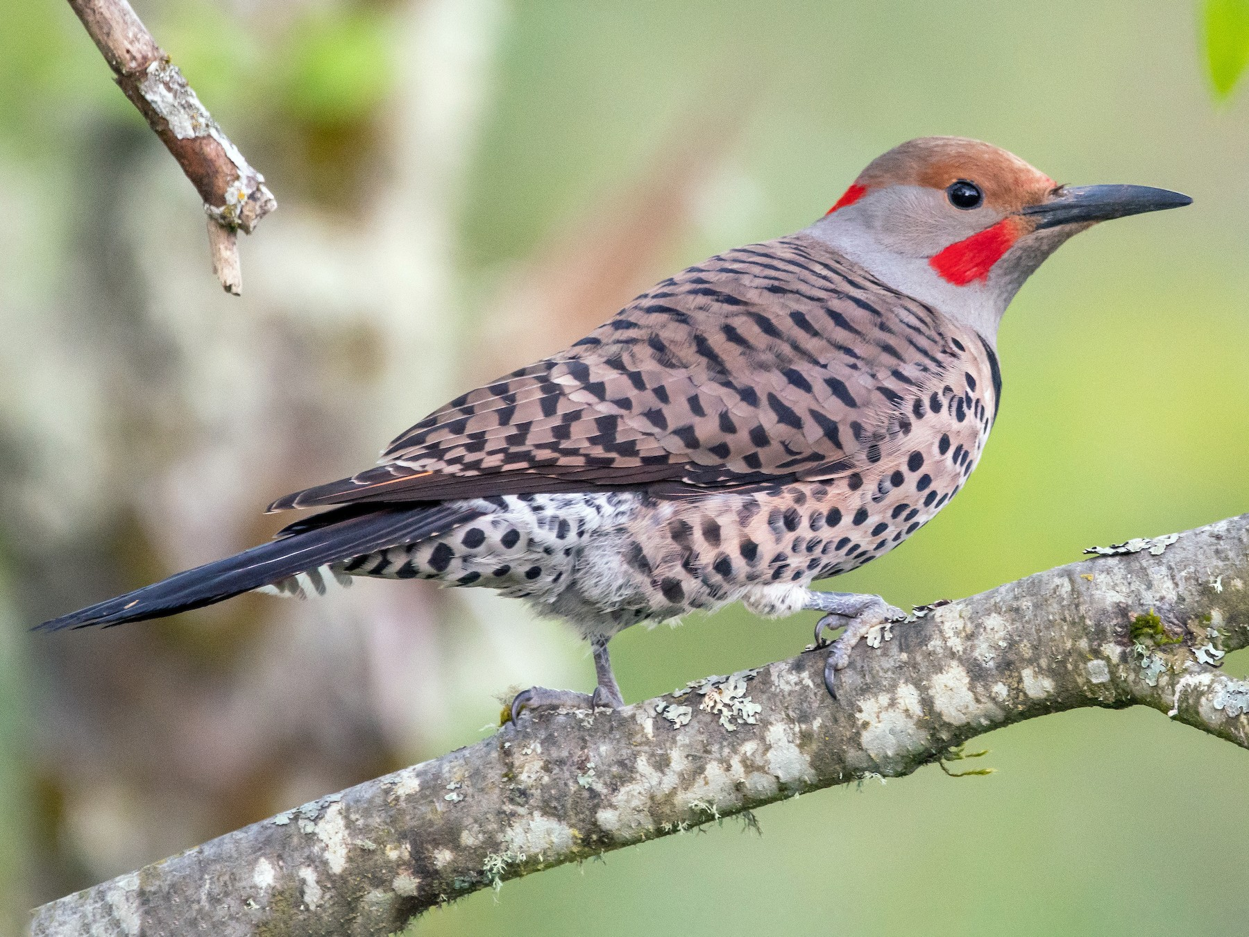 Northern Flicker - Mason Maron