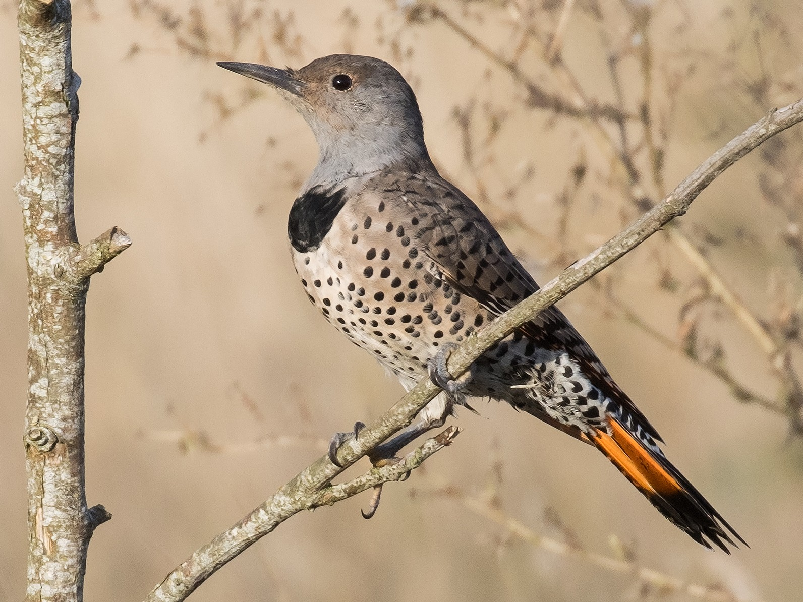 Northern Flicker - Eric Ellingson