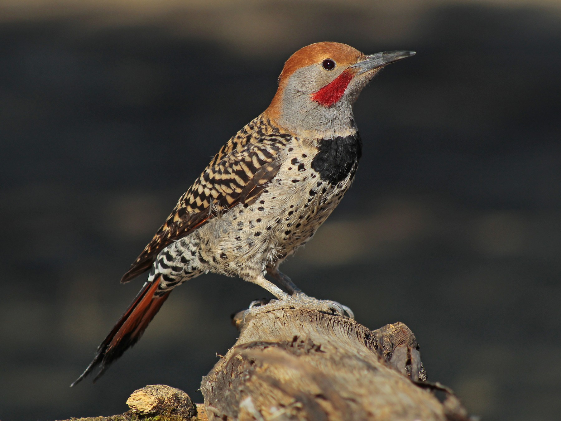 Northern Flicker - Esteban  Matias