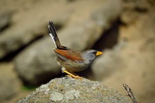 - Great Inca-Finch