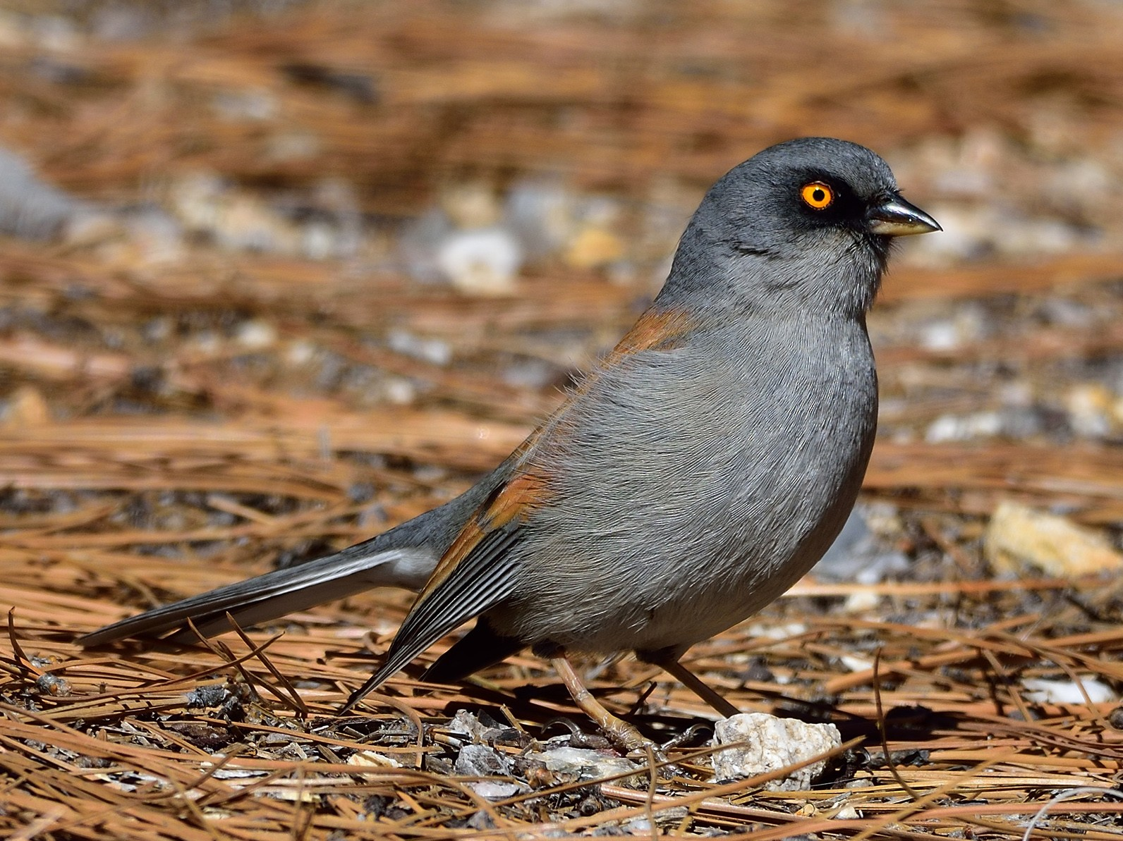 Yellow-eyed Junco - Ad Konings