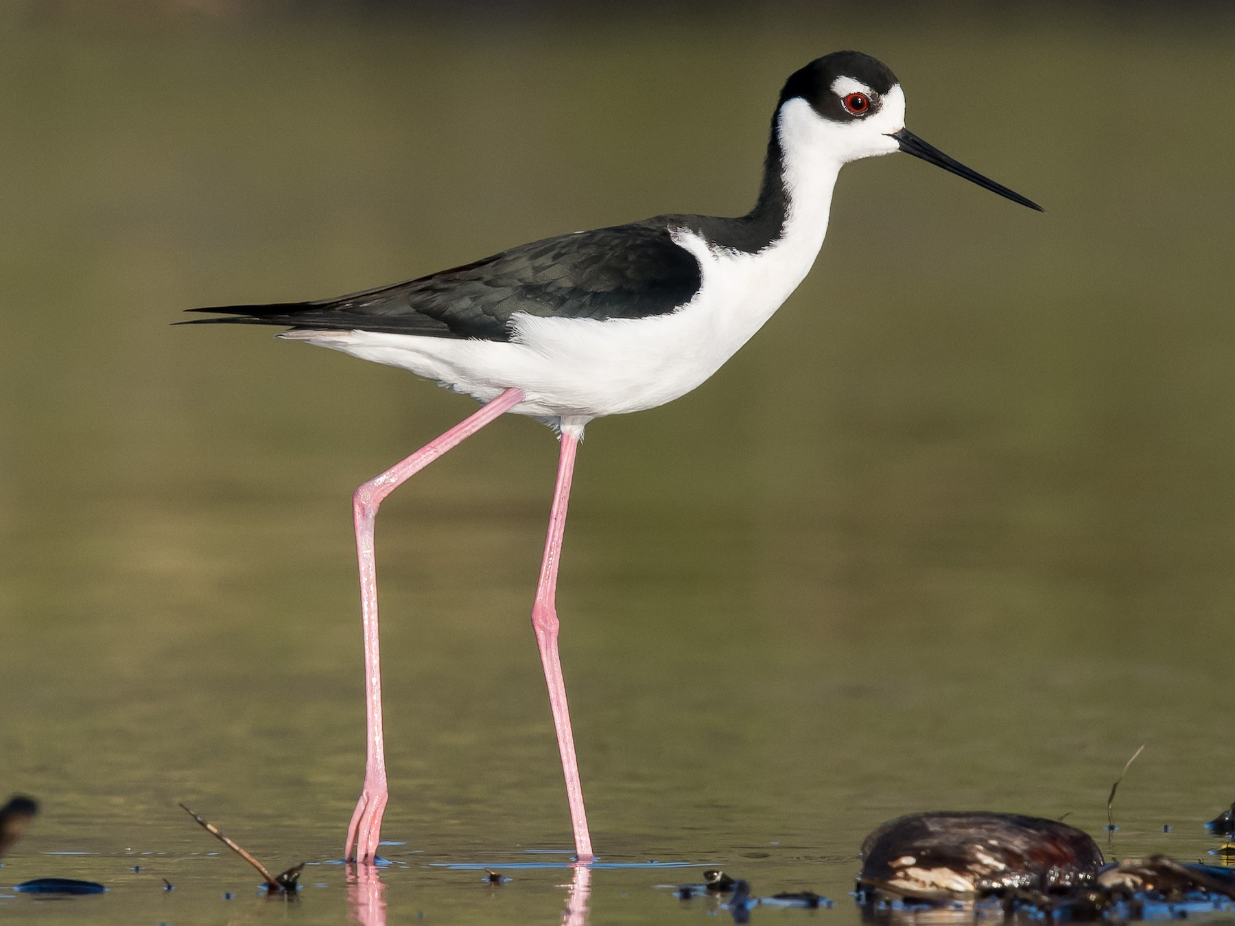 Black-necked Stilt - Melissa James