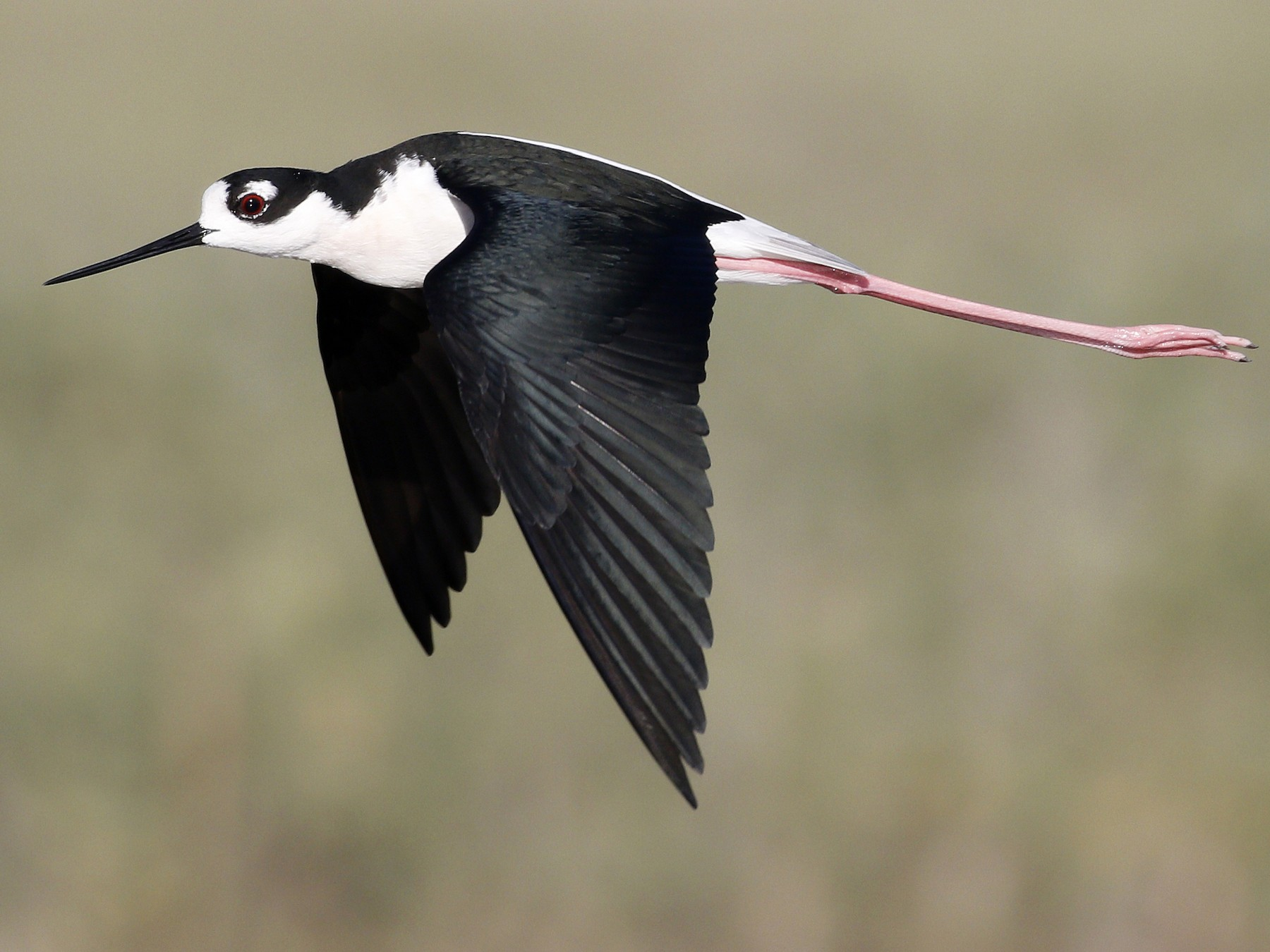 Black-necked Stilt - Ted Keyel