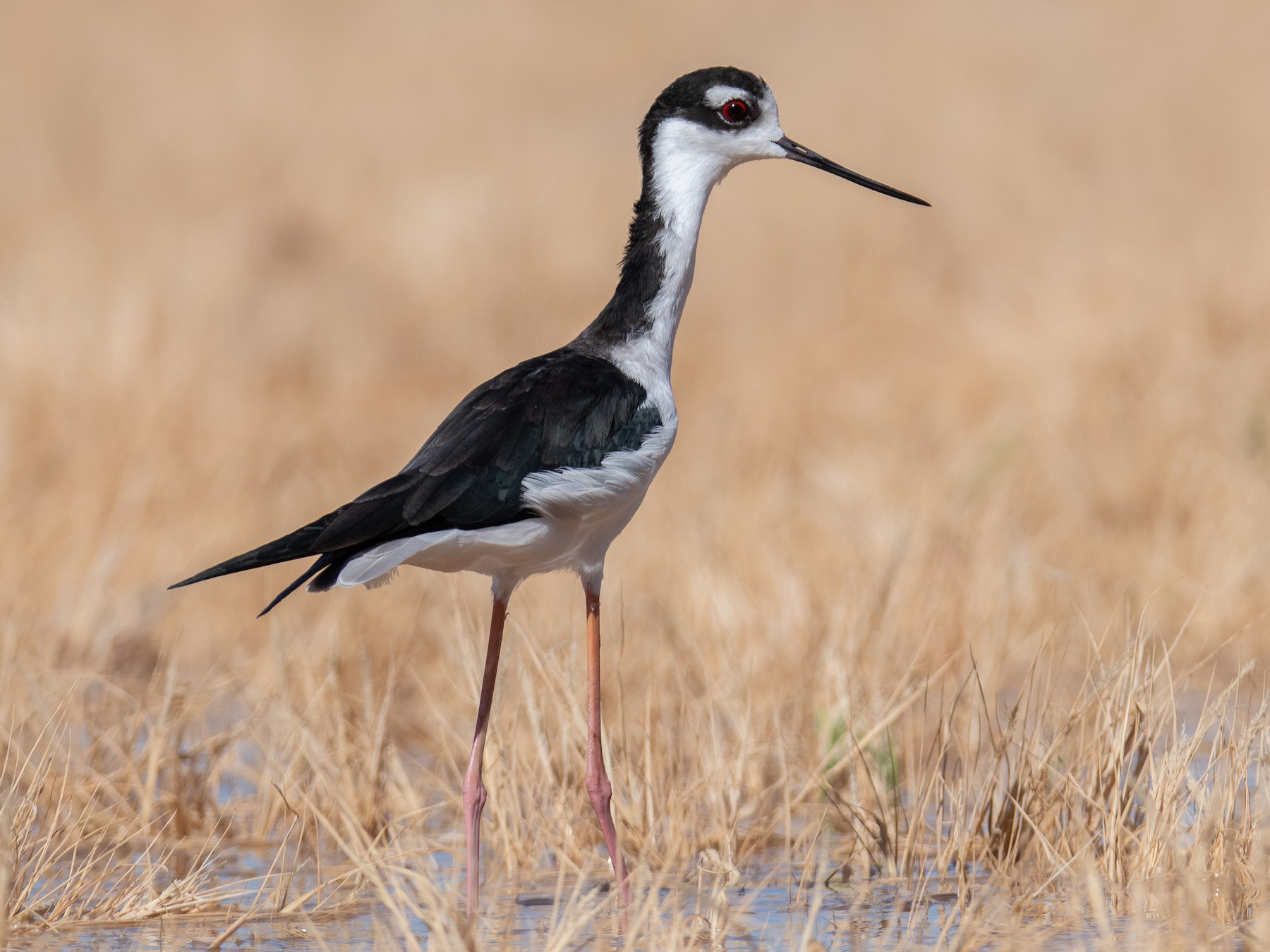 Black-necked Stilt - Levi  Plummer