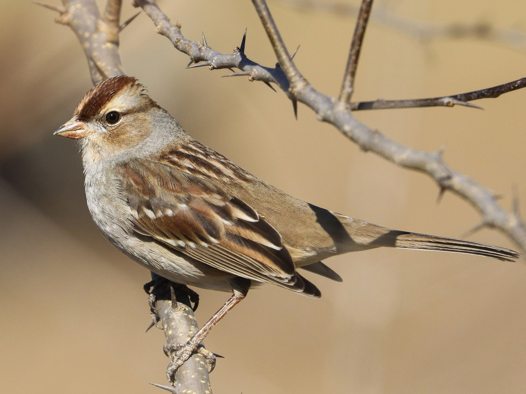 White-crowned Sparrow - Drew Chaney