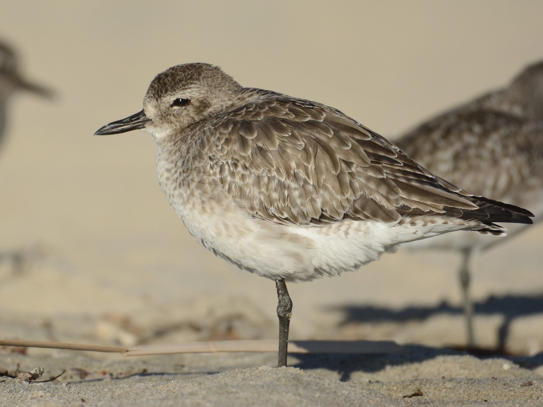 Black-bellied Plover - Bridget  Spencer